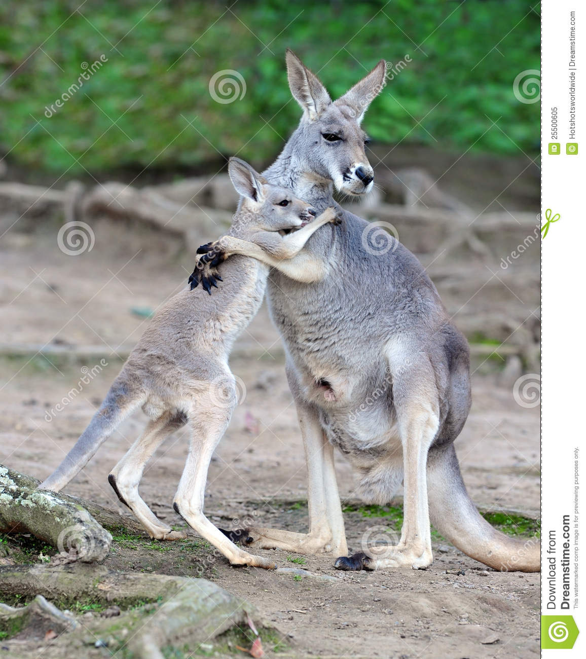 Royalty Free Stock Photo: Australian grey kangaroo embraces baby or ...