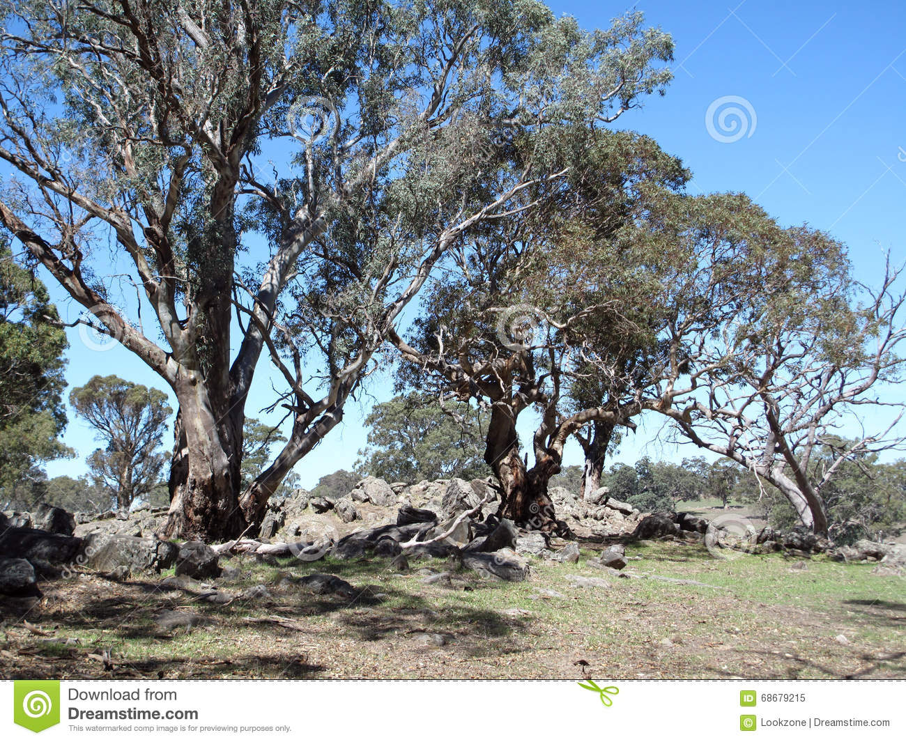 Australian gum trees landscape stock photo image 68679215 for Garden trees adelaide