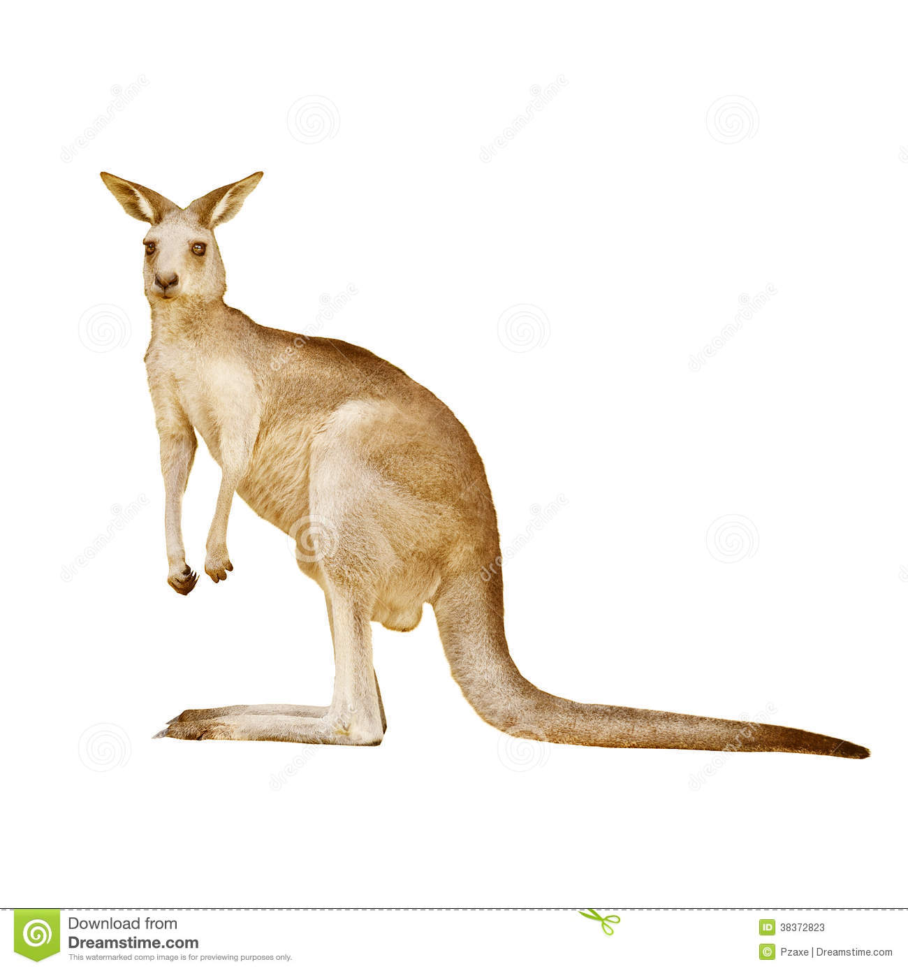 Australian kangaroo isolated on a white background stock image image 38372823 - Image kangourou ...