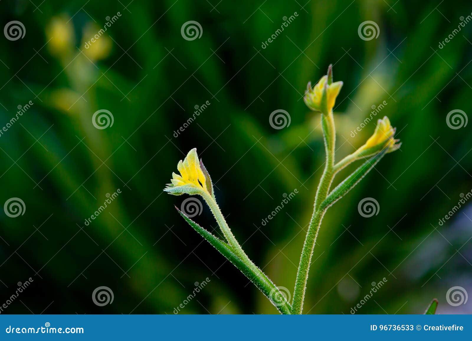Australian kangaroo paw haemodoraceae anigozanthos bush gold australian kangaroo paw haemodoraceae anigozanthos bush gold native desert plant with yellow flowers mightylinksfo