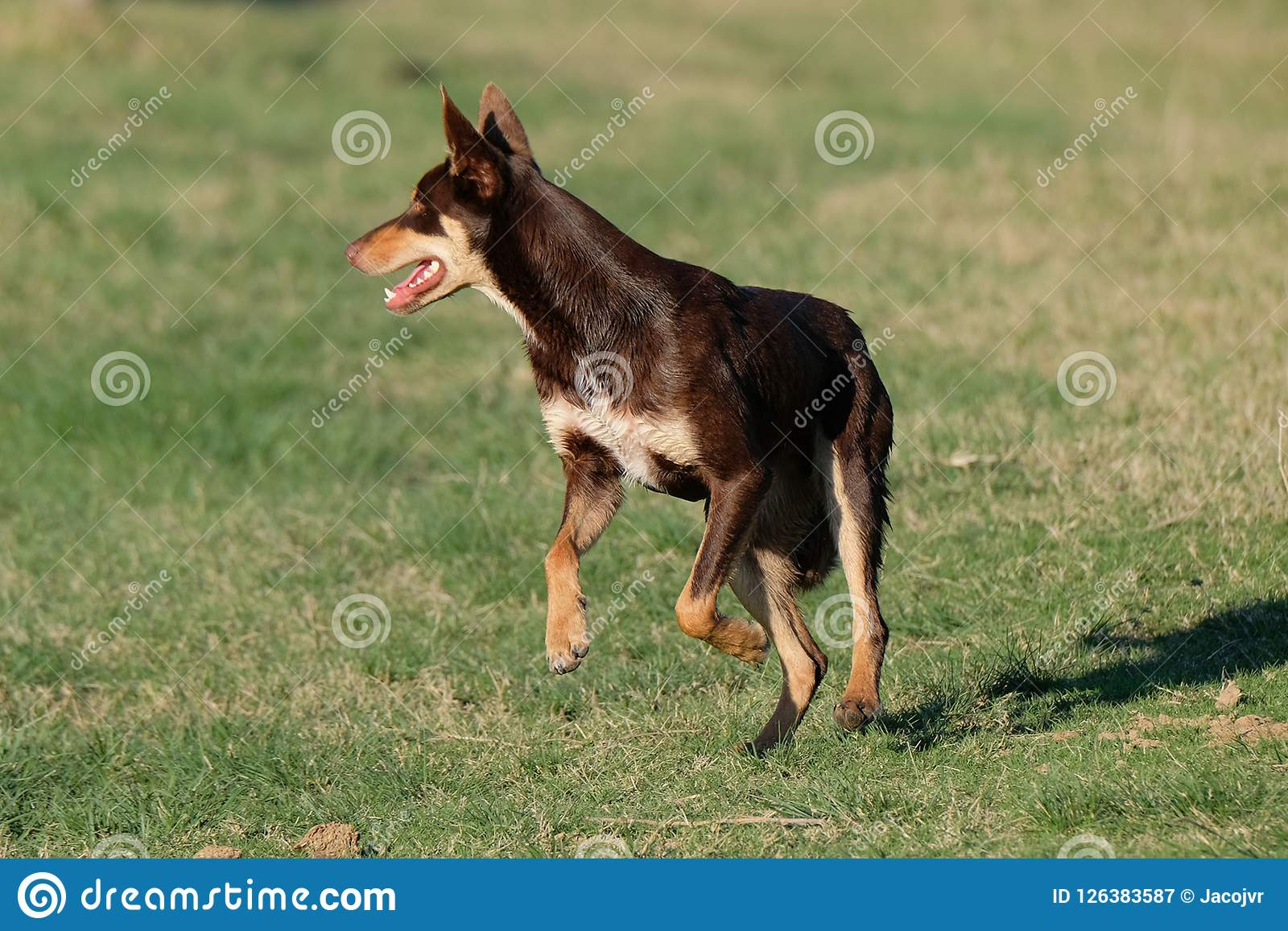 Australian Kelpie Puppy Dog Running At Full Speed Stock