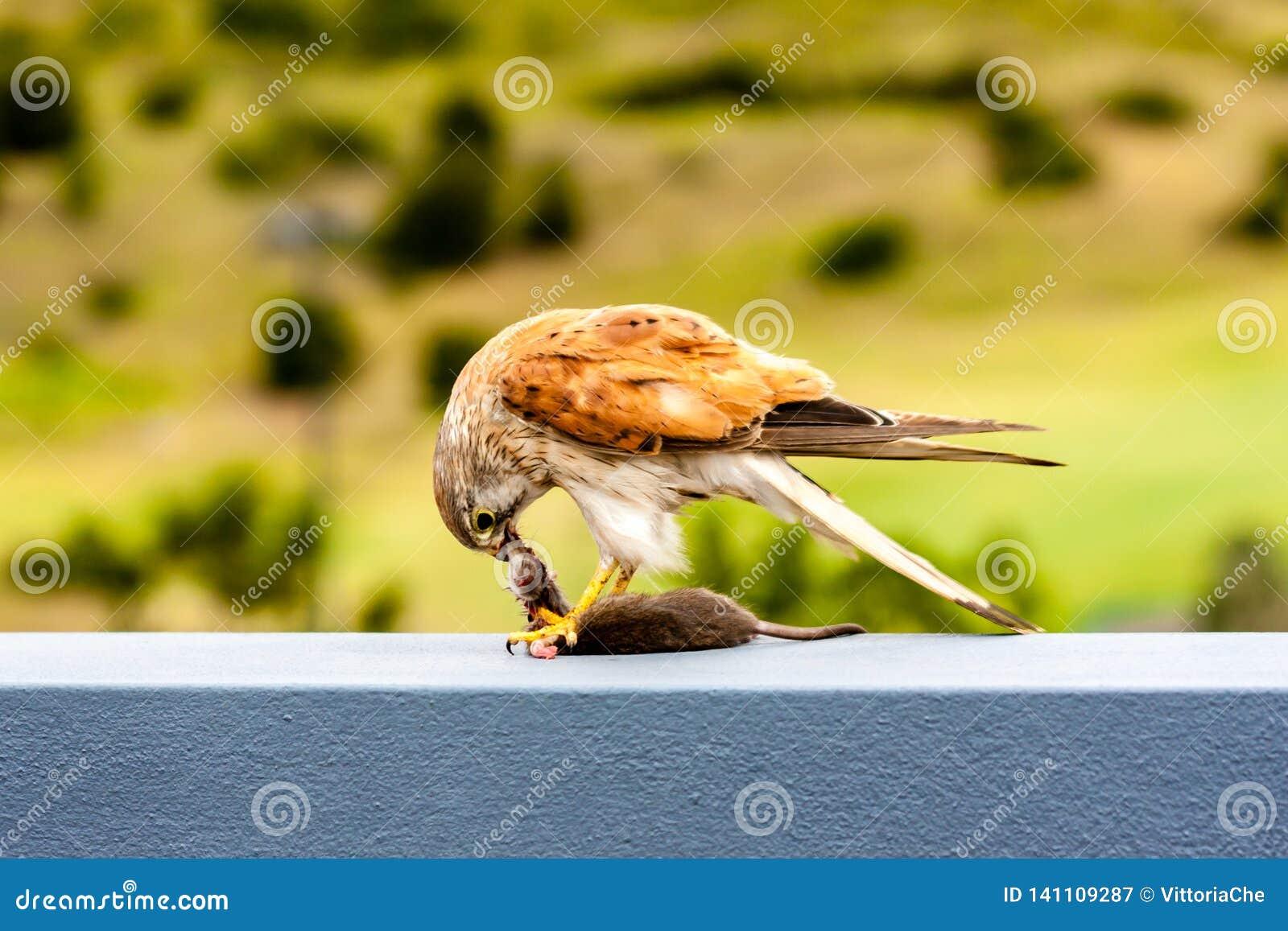Australian kestrel Nankeen Kestrel, Falco cenchroides eating mouse