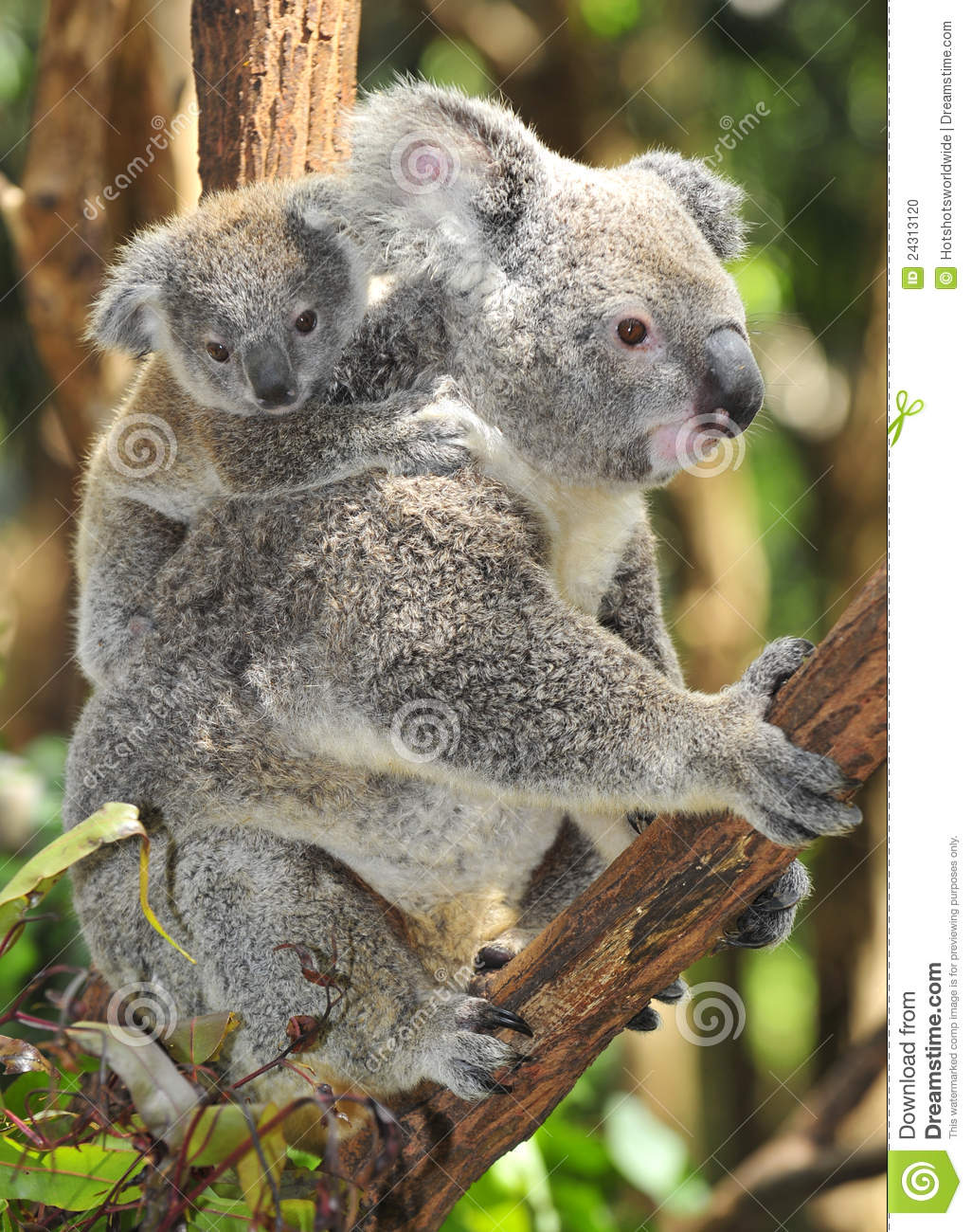Australian Koala Bear Carrying Cute Baby Stock Photo - Image: 24313120