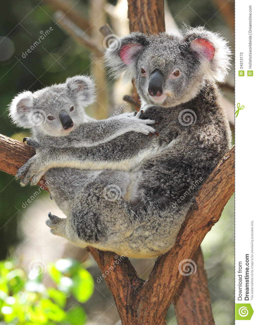 Australian koala bear carrying cute baby australia