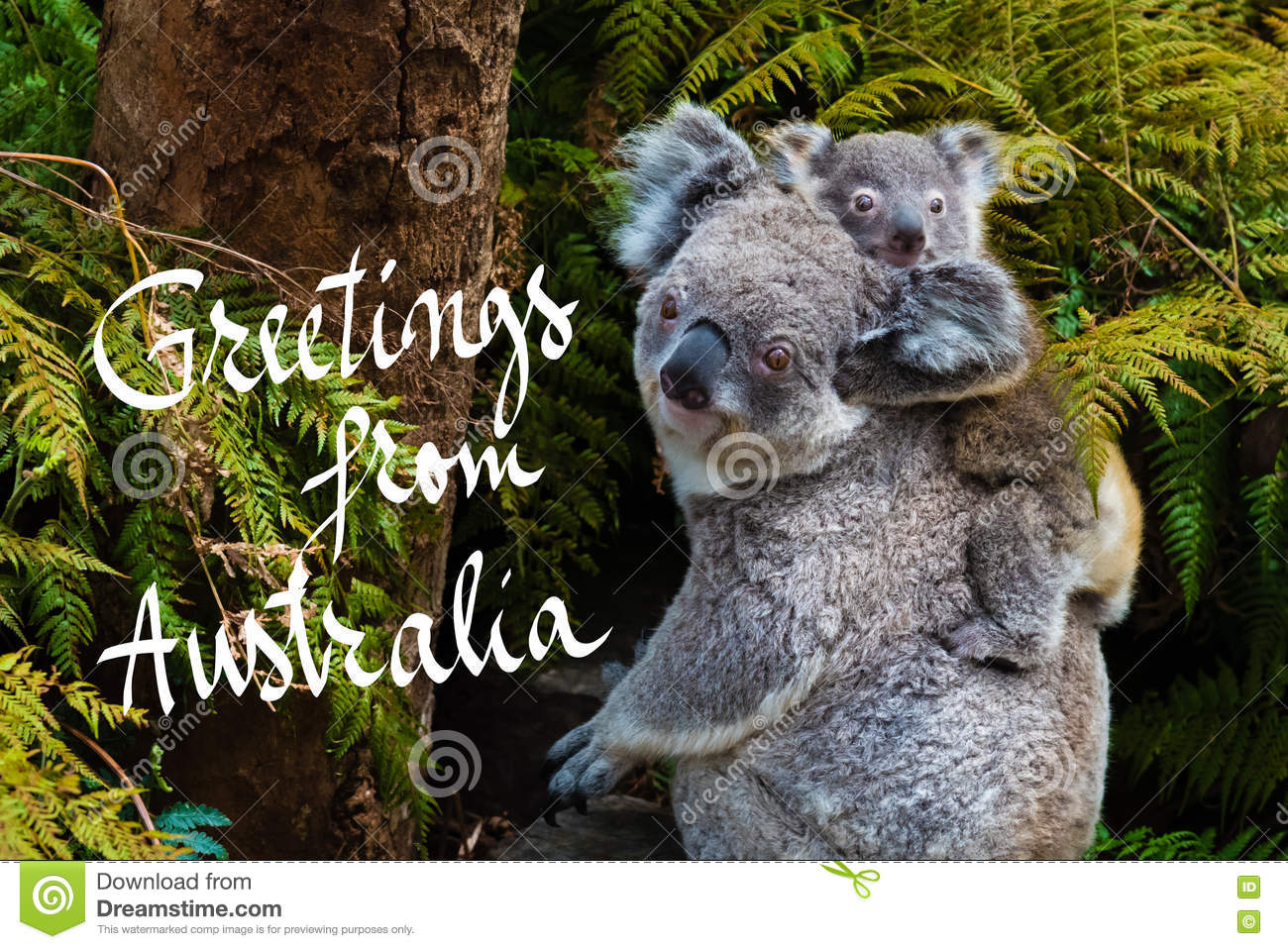 Australian Koala Bear Native Animal With Baby And Greetings From
