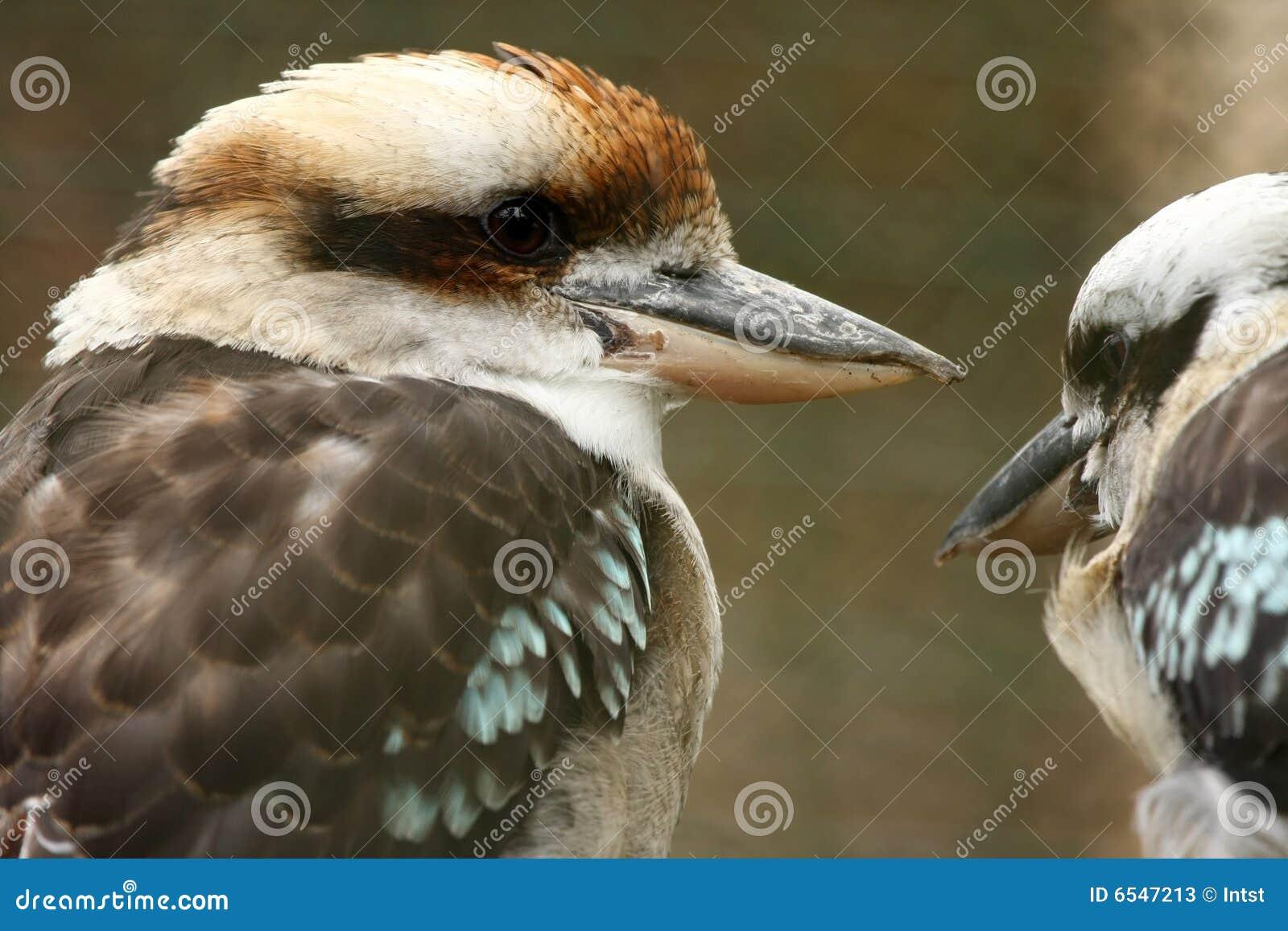 Australian Kookaburra pair