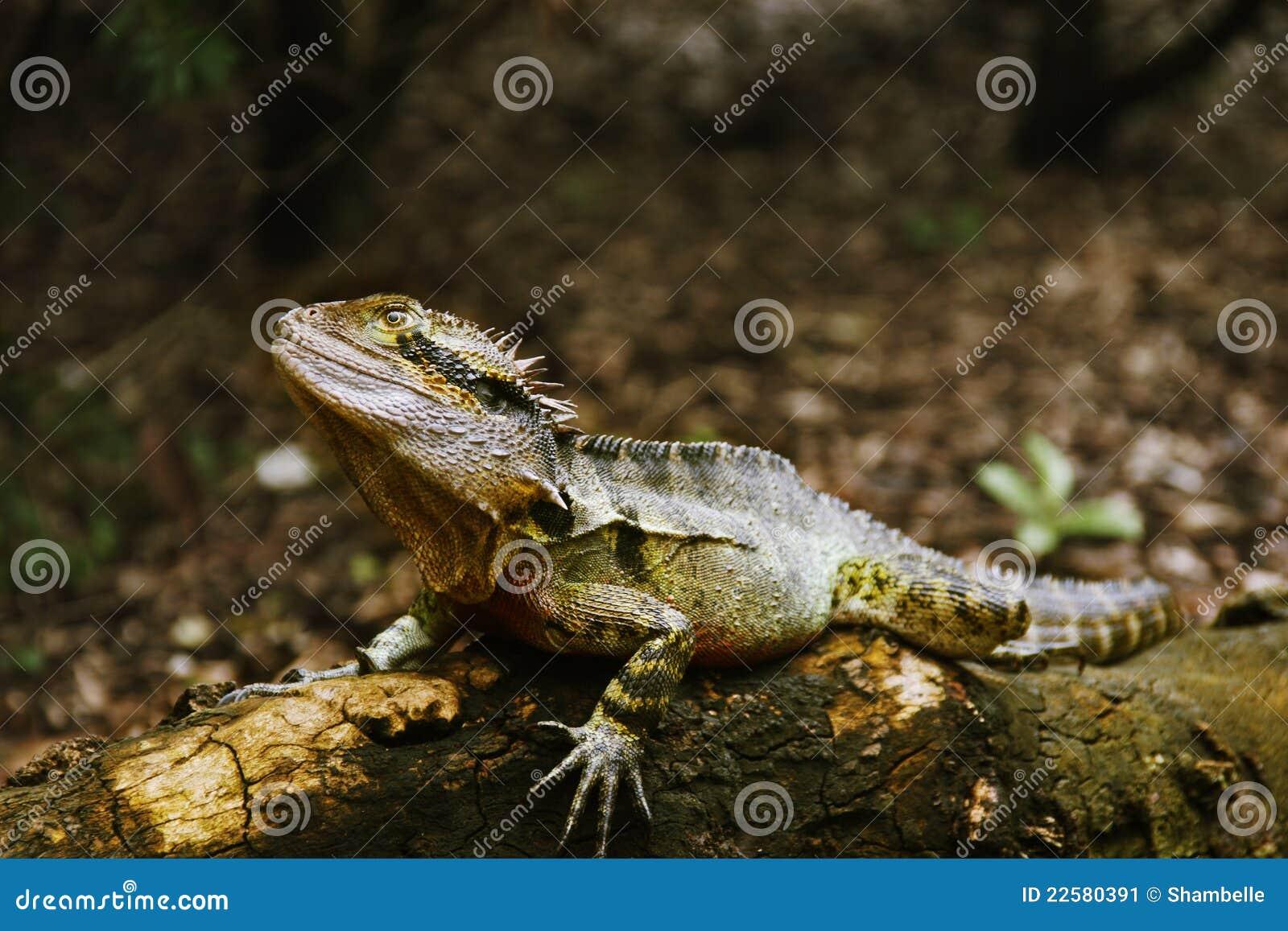 Australian Water Dragon Lizard: Australian Lizard Stock Image