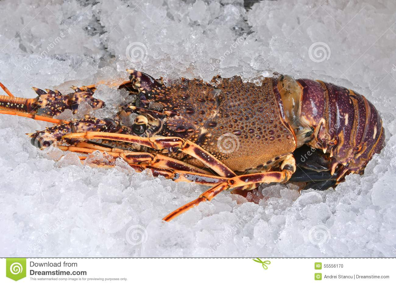 Australian Lobster Stock Photo - Image: 55556170
