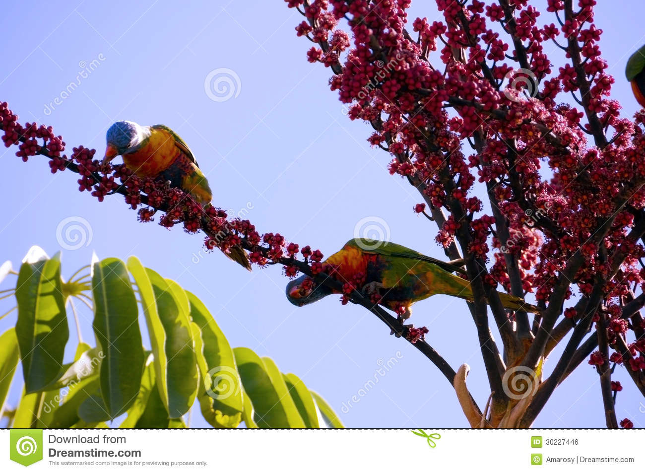 Australian native fauna rosella rainbow lorikeet parrot birds royalty free stock image image - Planting fruit trees in autumn ...