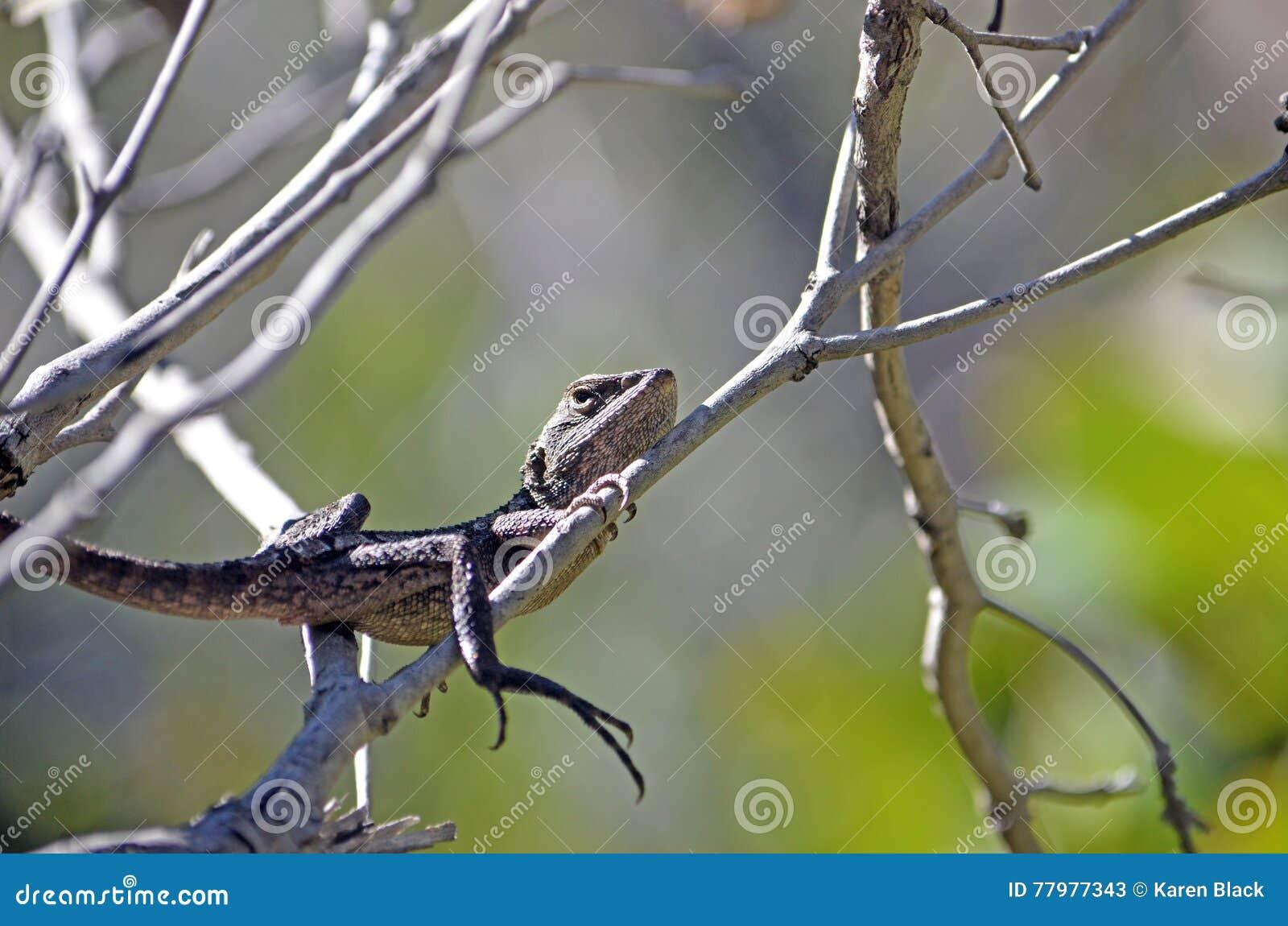 Australian Native Jacky Dragon Lizard In Tree Stock Image Image Of