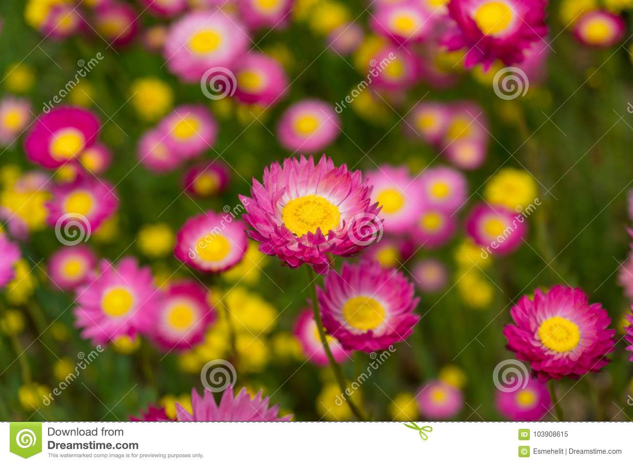 Australian Native Paper Daisy Flower Field Stock Image Image Of