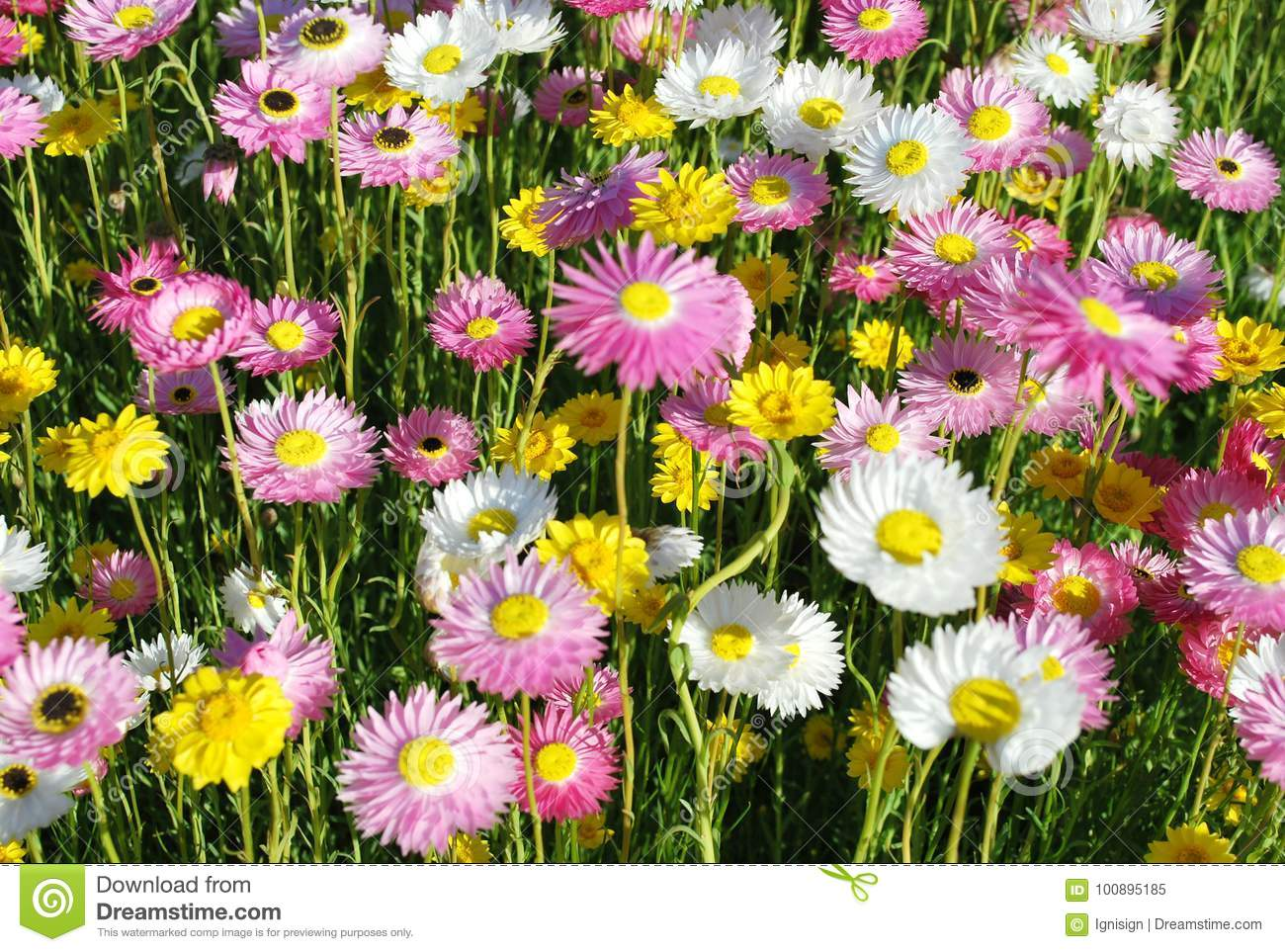 Australian Native Paper Daisy Flowers In Yellow Pink And White