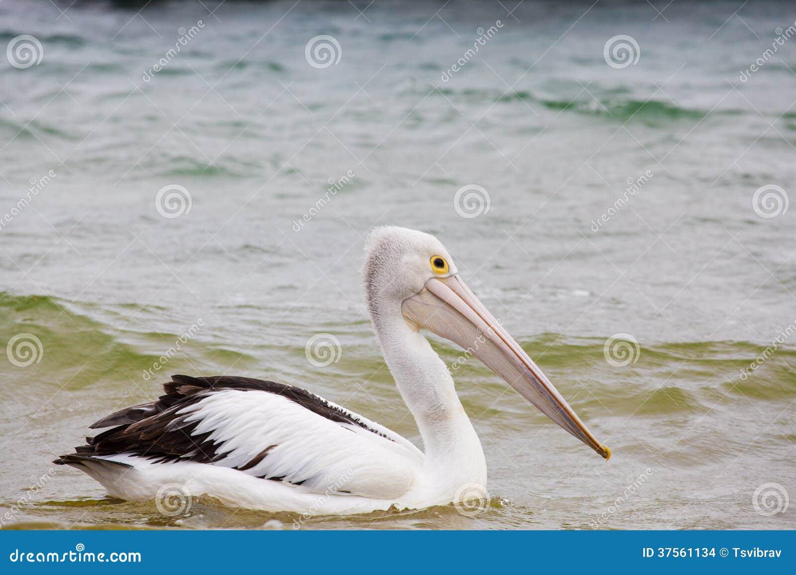 Australian Pelican Drifting On Ocean Waves Stock Photo ...