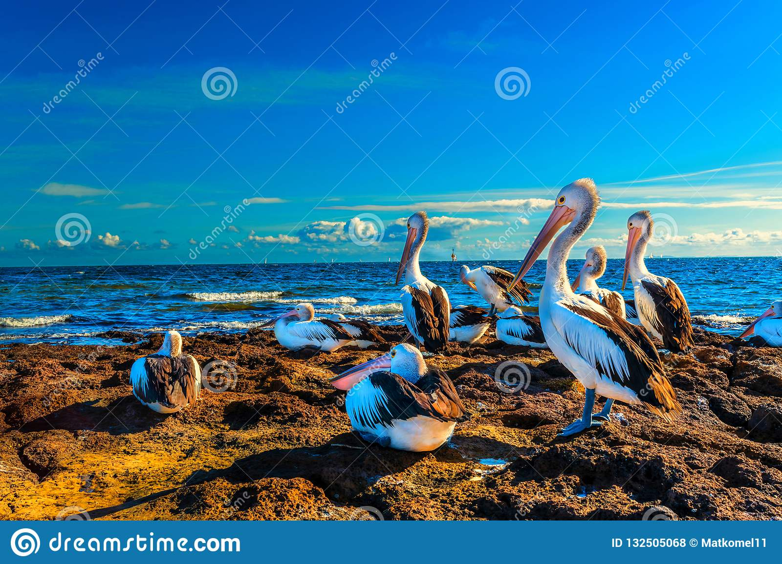 Australian Pelicans by the sea at sunset
