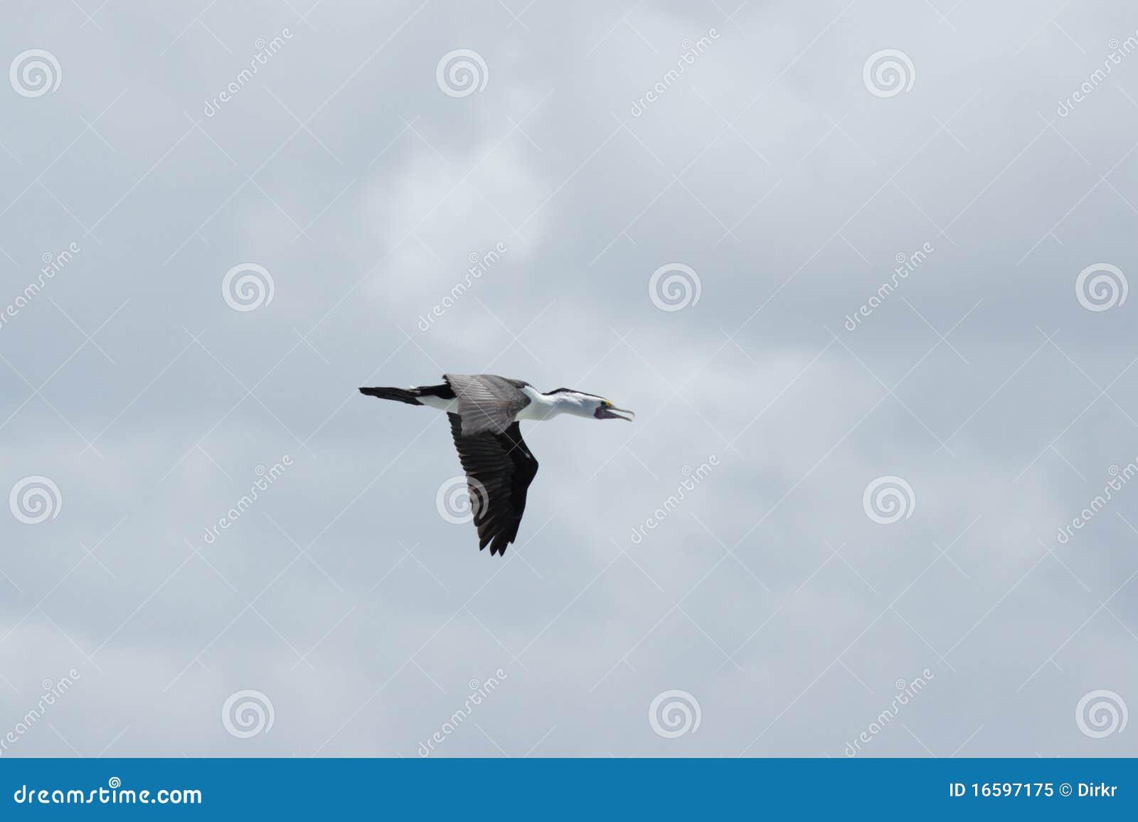 australian pied cormorant  phalacrocorax varius  stock image