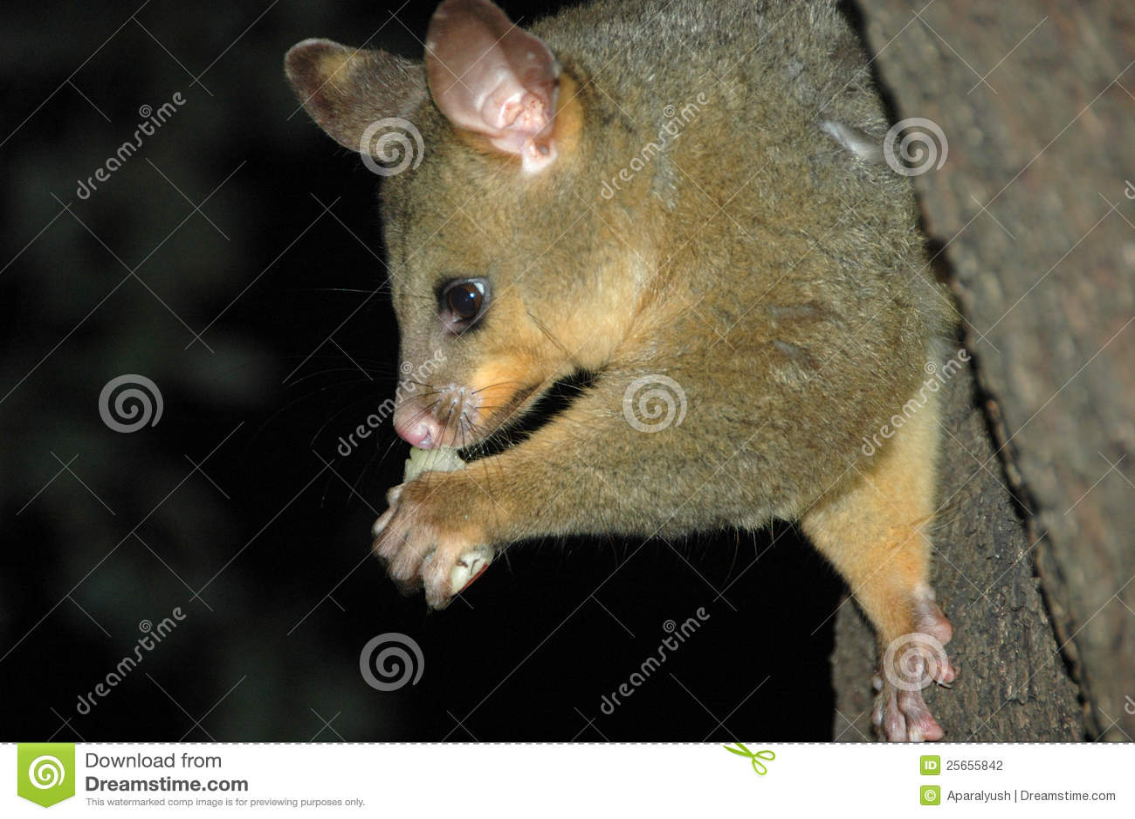 Australian Possum Eating A Piece Of Fruit Stock Photo