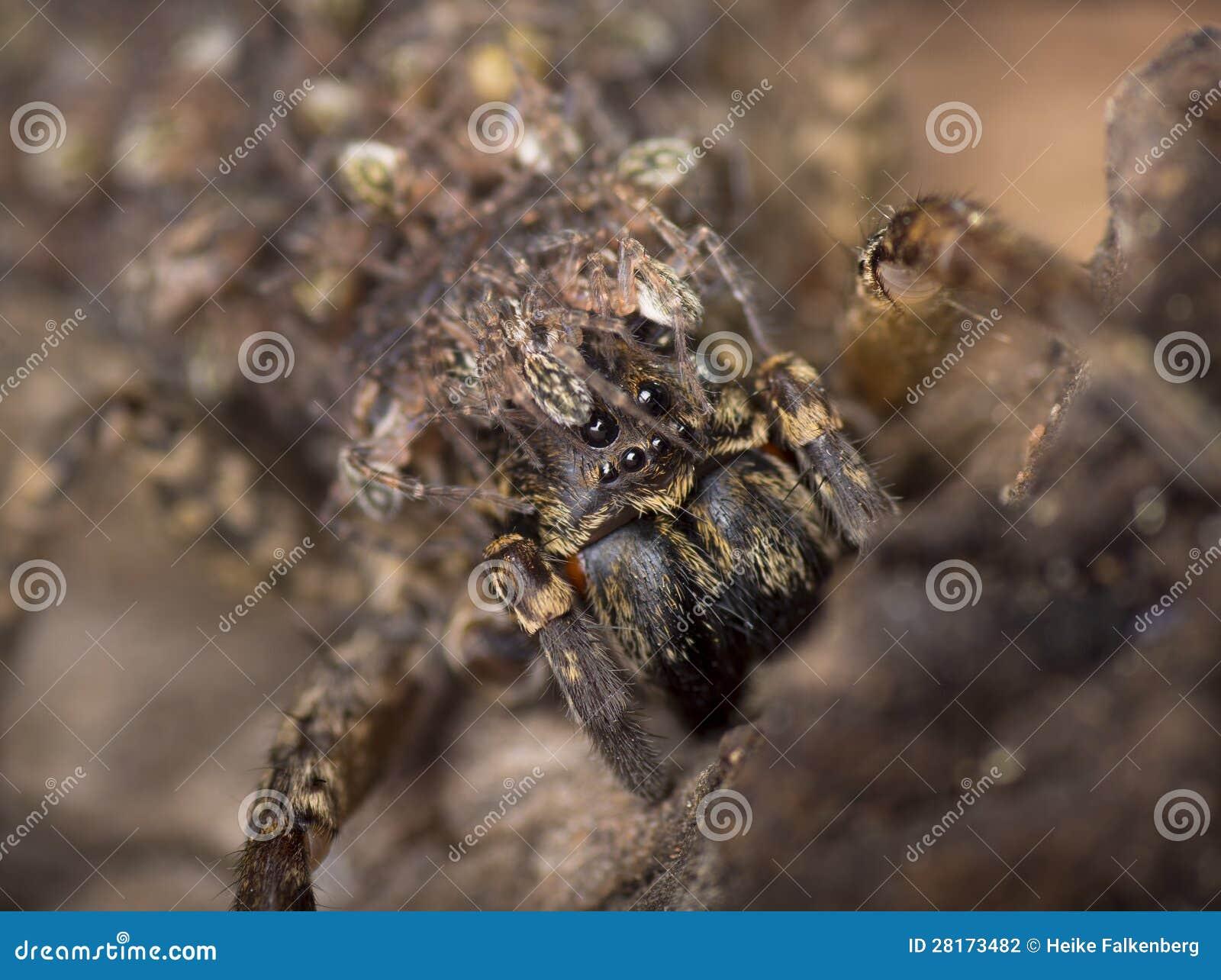 Australian Recluse Spider