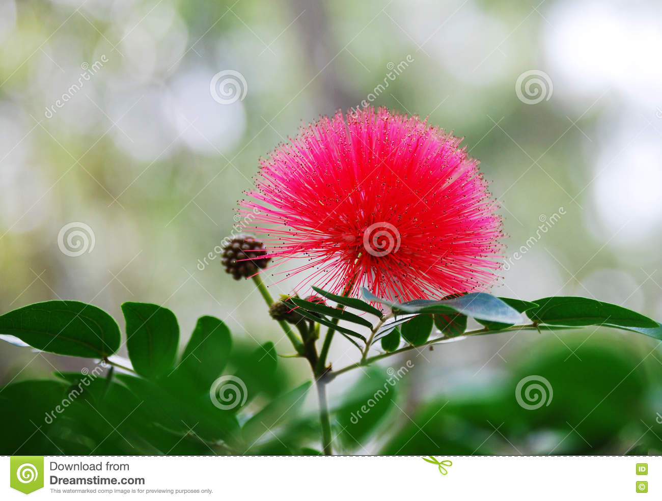Australian Red Acacia Flower Stock Photo Image Of Abstract Burst
