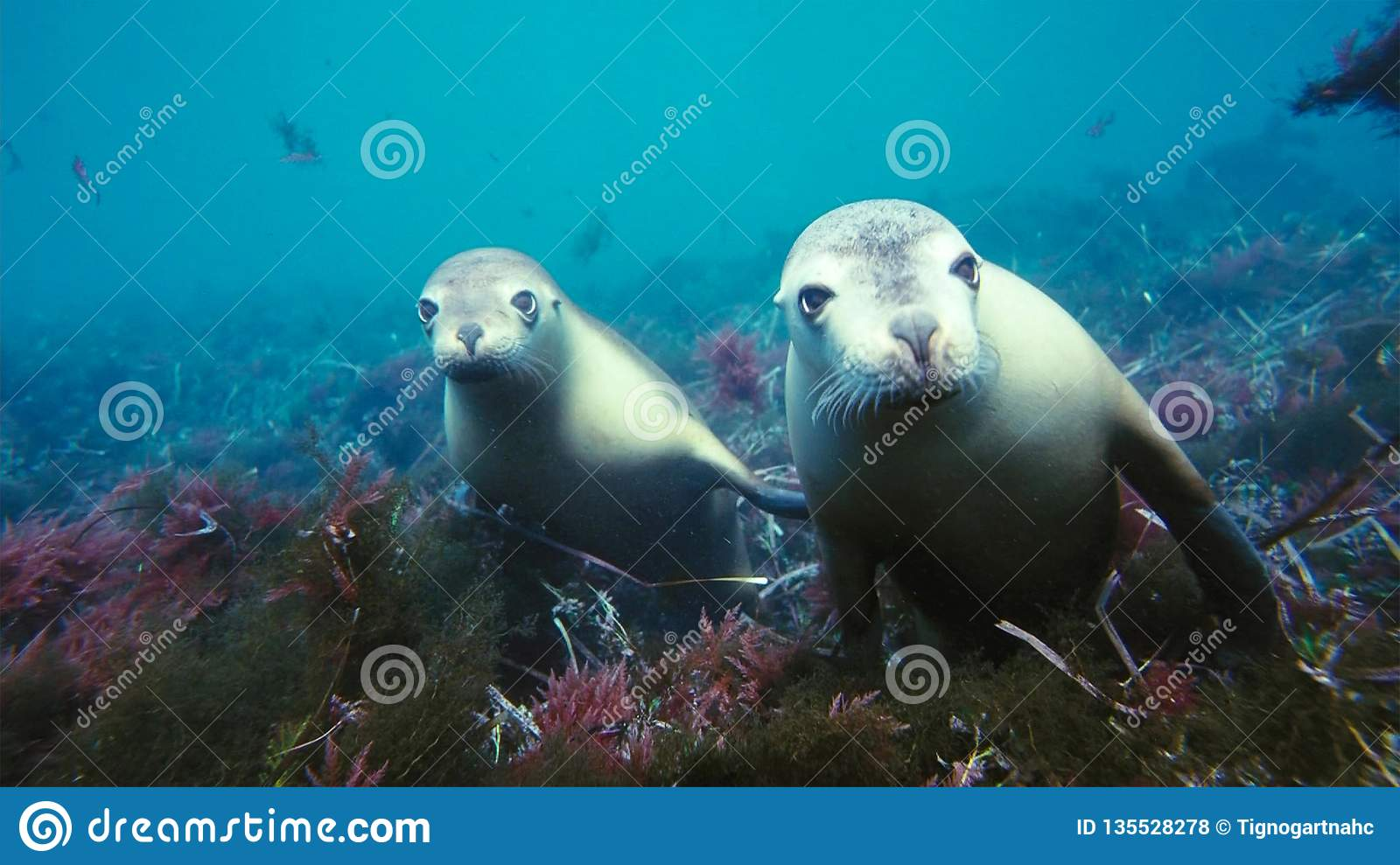Australian sea lions Neophoca cinereaplaying in shallow waters in the Neptune Islands area, South Australia