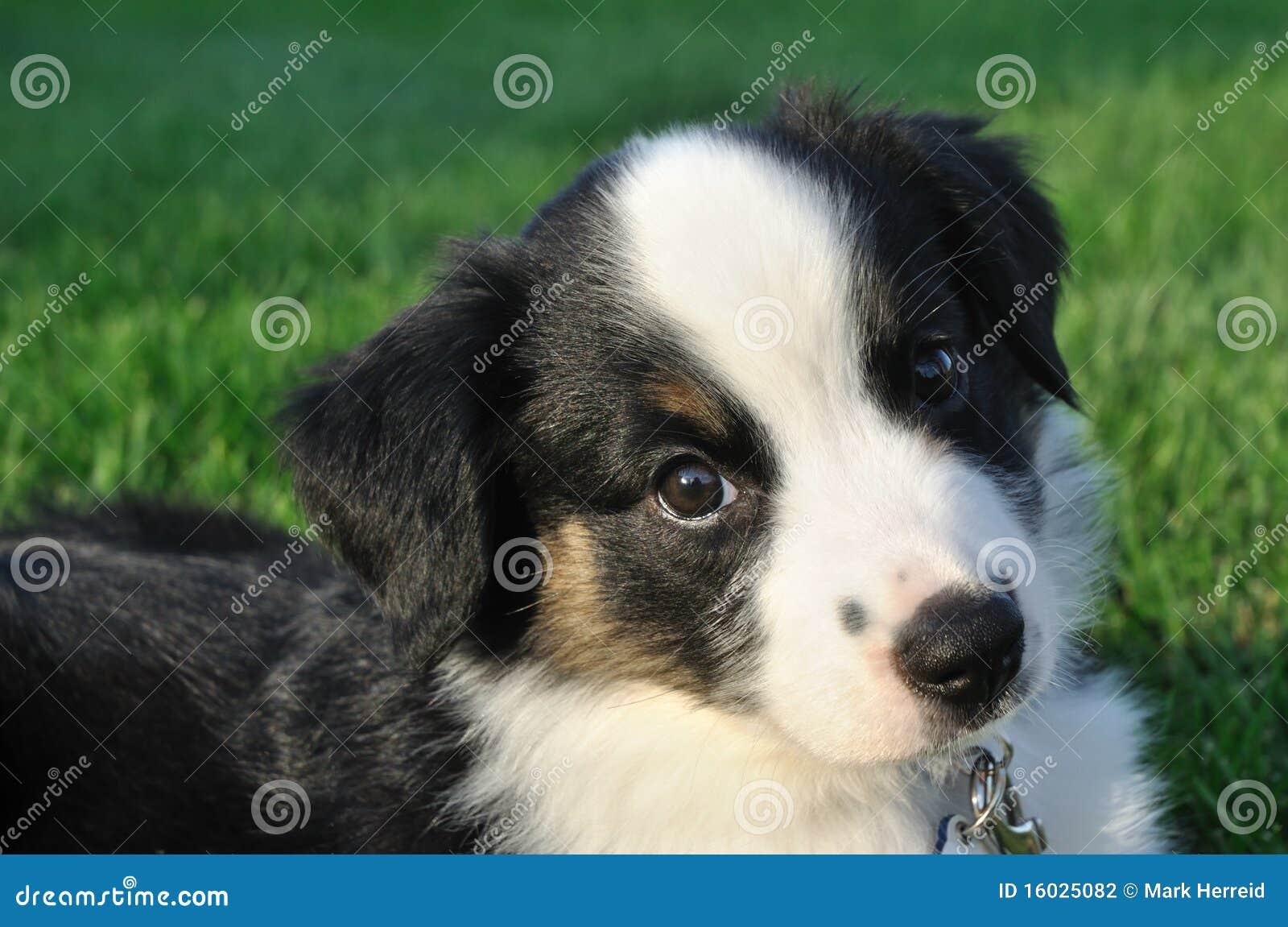 Australian Shepherd (Aussie) Puppy Stock Photography - Image: 16025082