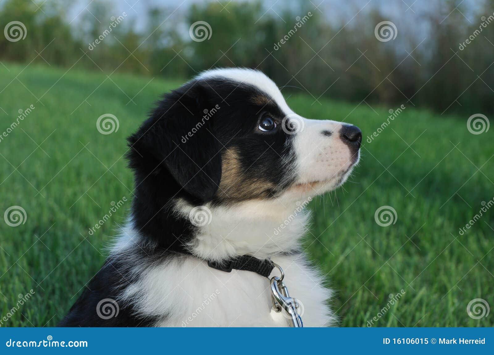 Australian Shepherd (Aussie) Puppy Royalty Free Stock Photo - Image ...