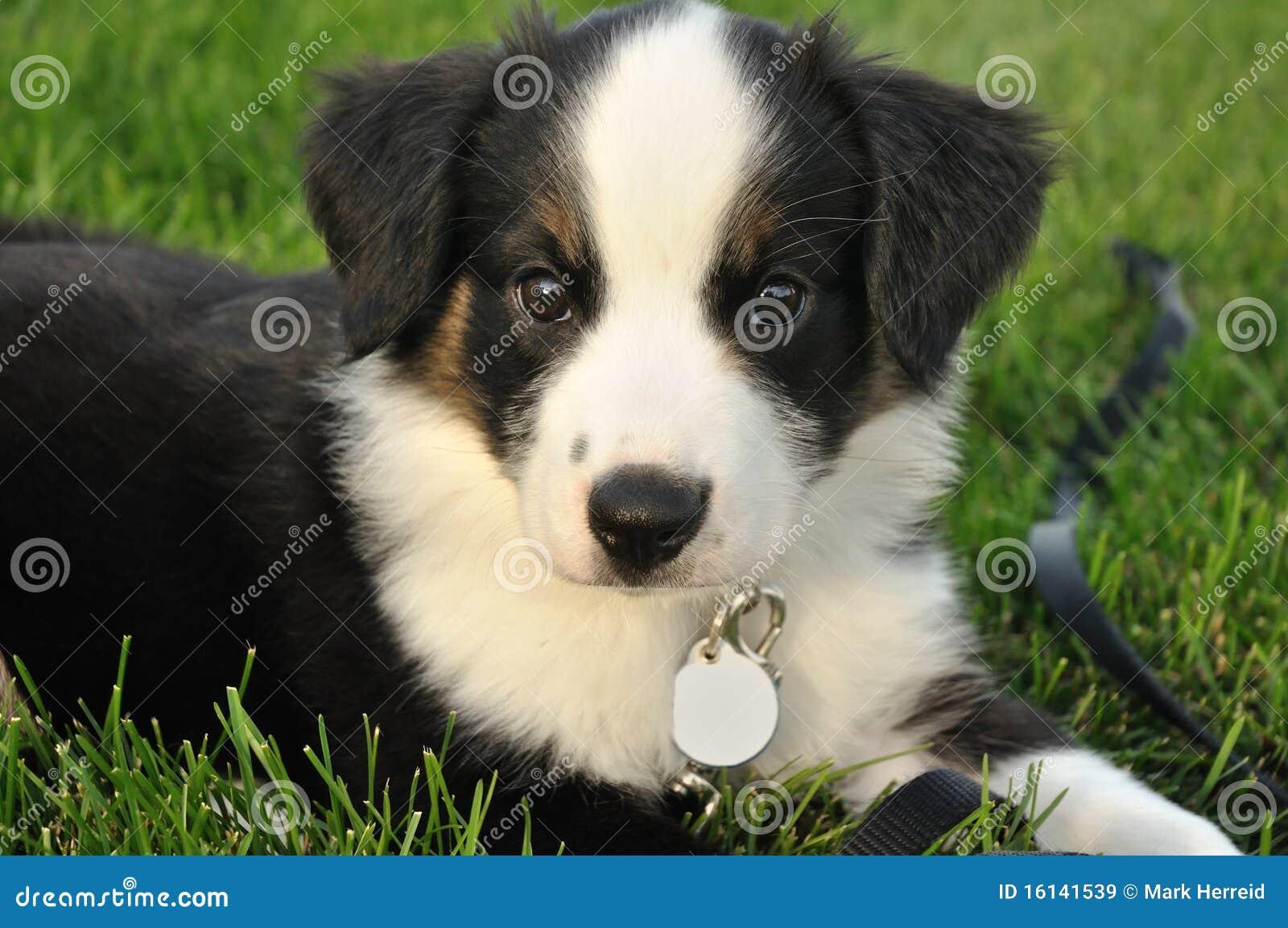 Australian Shepherd Aussie Puppy Royalty Free Stock Images Image | Dog ...