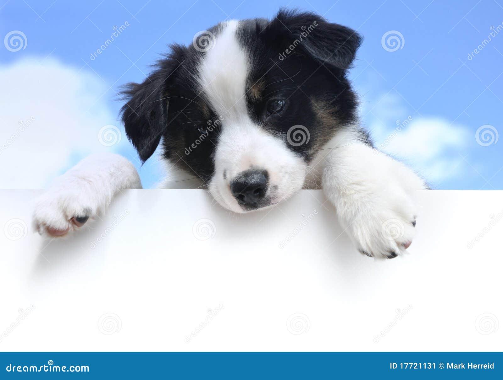 Australian Shepherd (Aussie) Puppy Above Sign Stock Image - Image ...