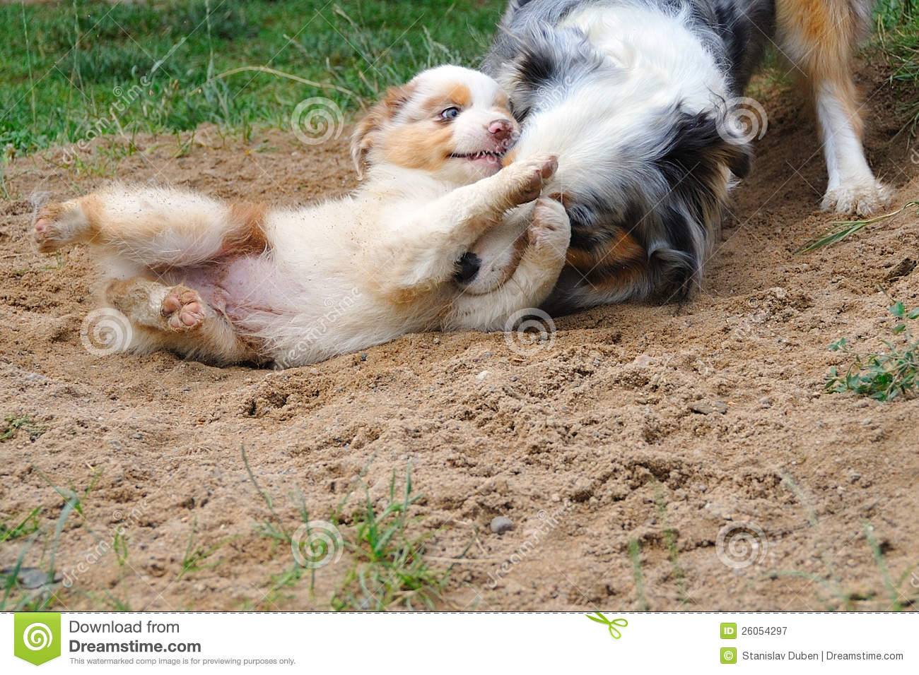 ... stock images of ` Australian Shepherd aussie with puppy in game