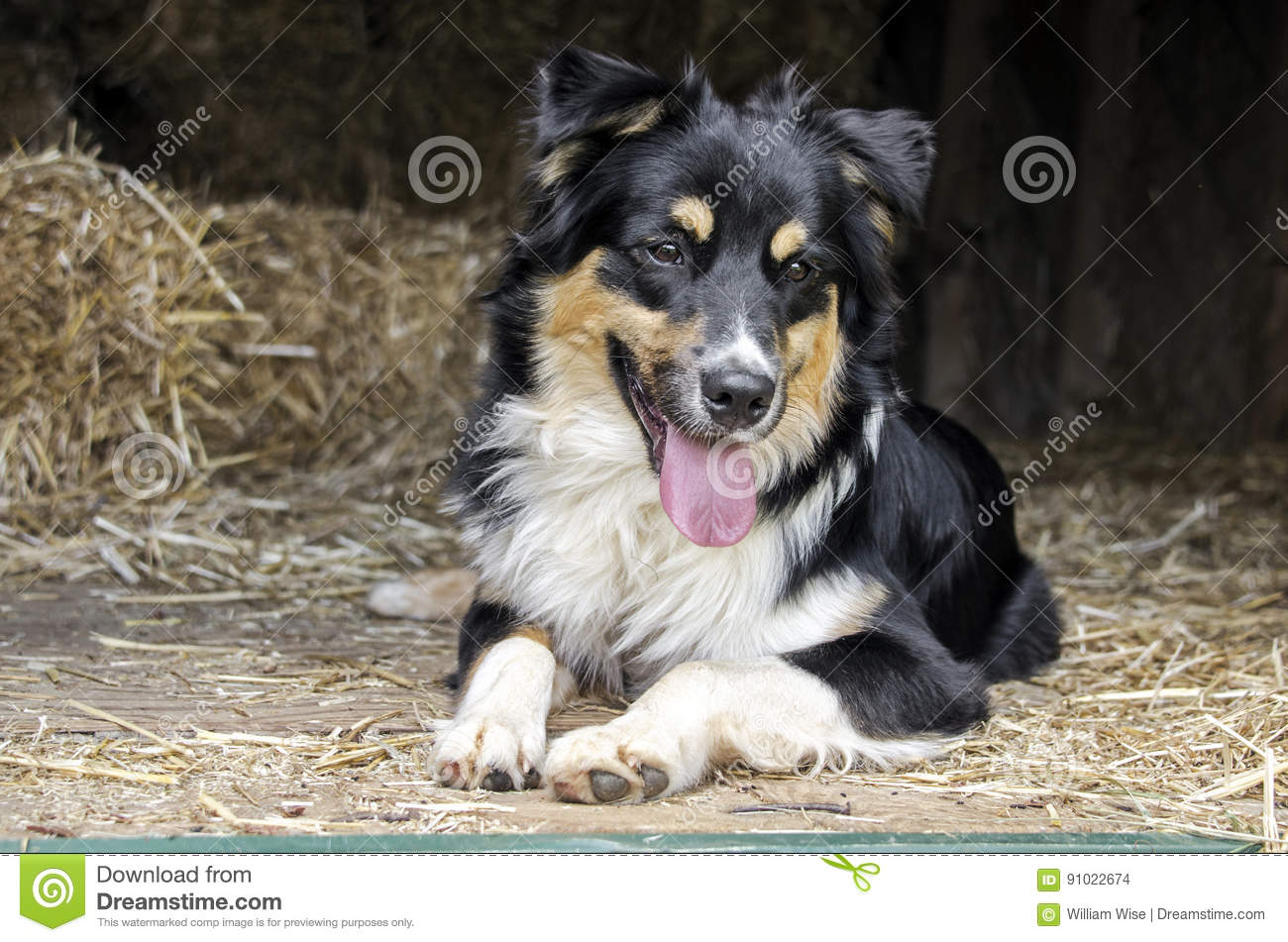 Australian Shepherd Cattle dog