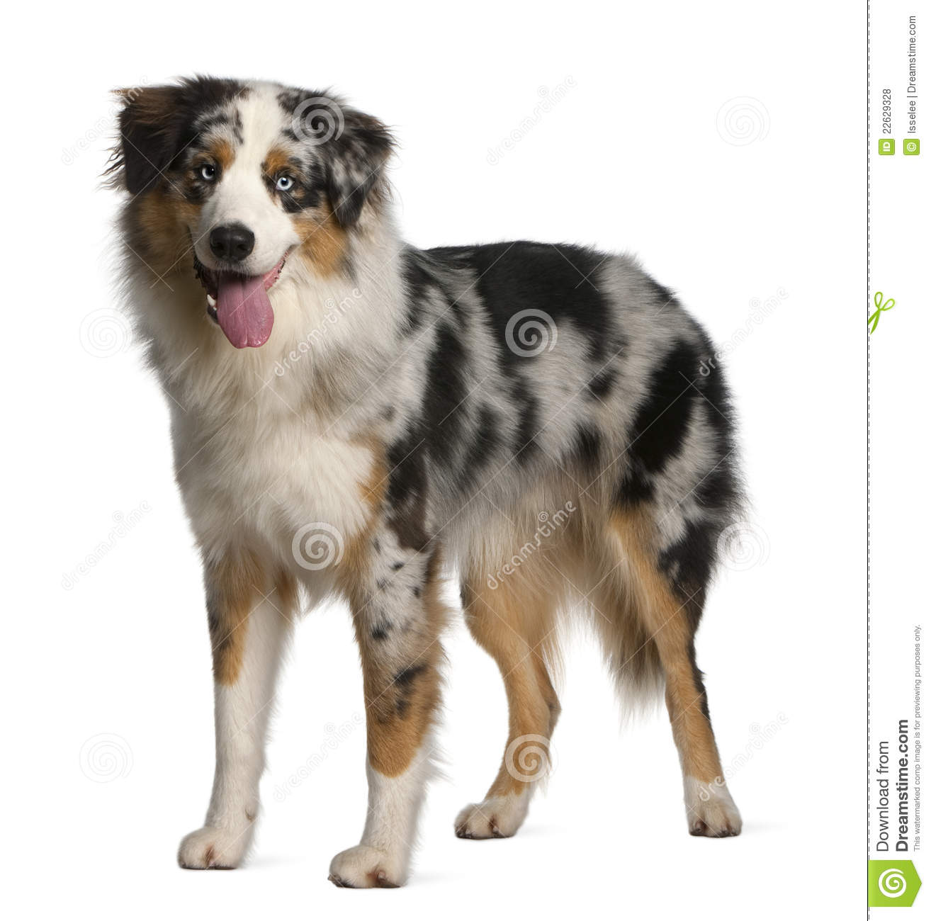 Australian Shepherd dog, 12 months old, standing in front of white ...