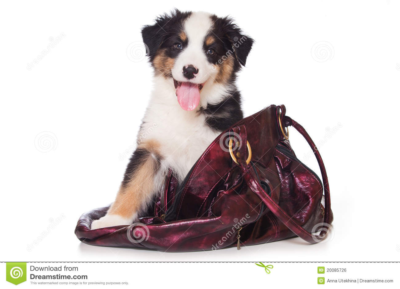 Royalty Free Stock Image: Australian Shepherd dog