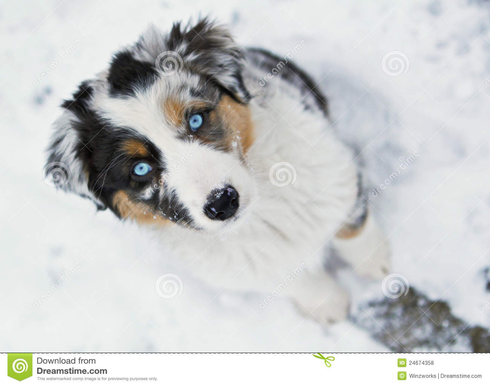 Australian Shepherd Puppy Royalty Free Stock Photos ...