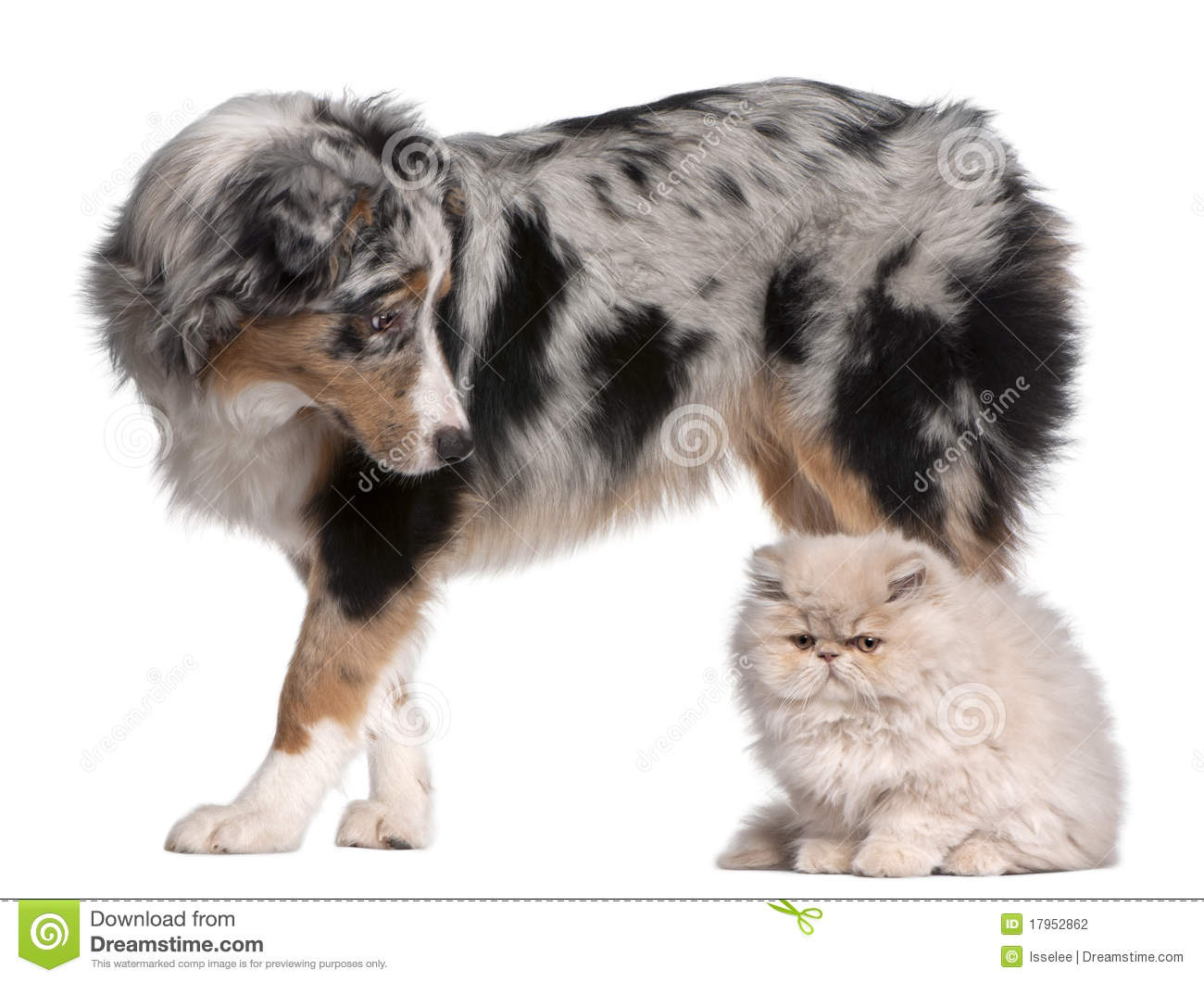 Australian Shepherd dog, 6 months old, looking at Persian cat in front ...