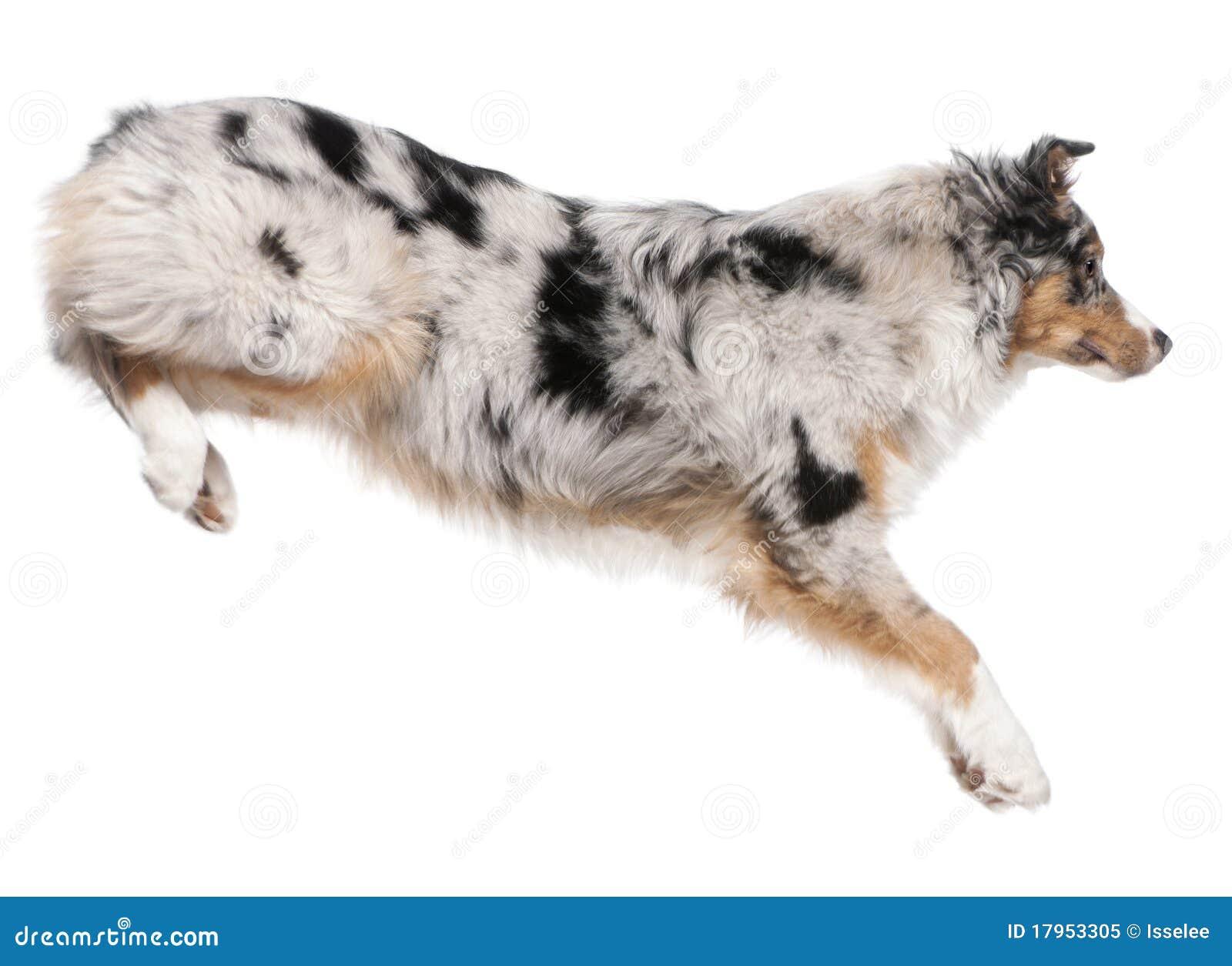 Dog Jumping White Background Australian shepherd dog jumping, 7 months ...