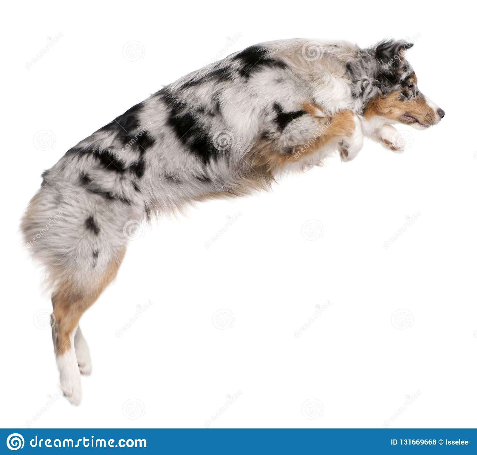 Australian Shepherd dog jumping, 7 months old