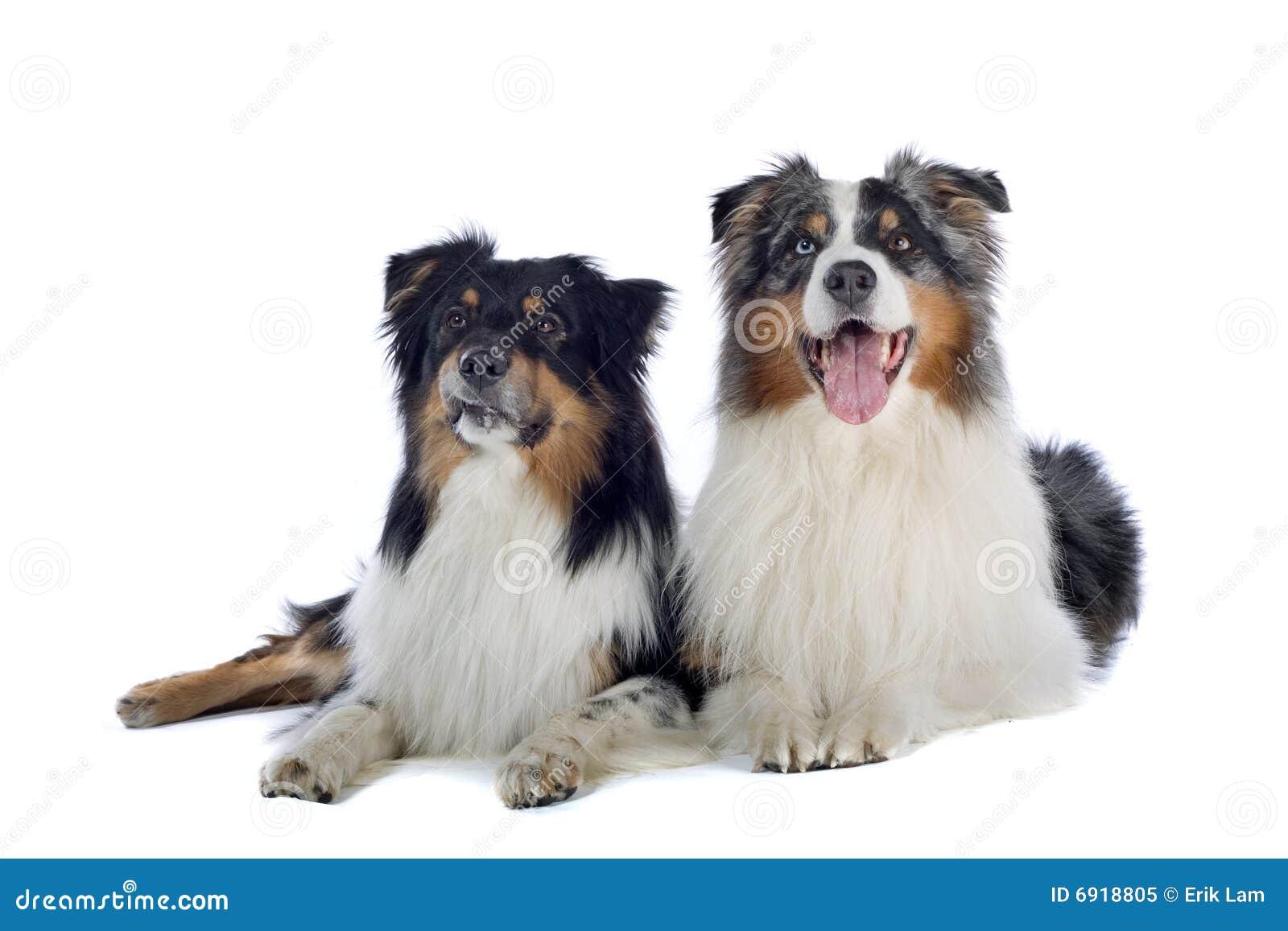 White And Brown Australian Shepherd Australian Shepherd dogs