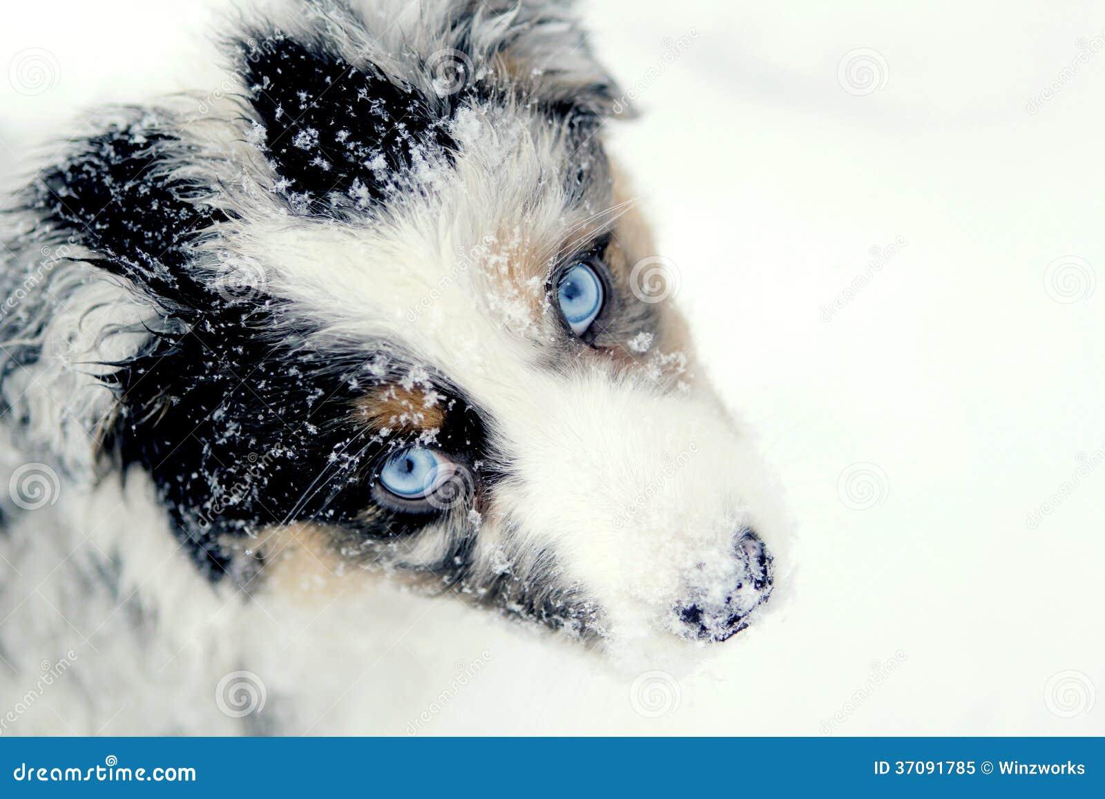 Australian Shepherd pup in snow