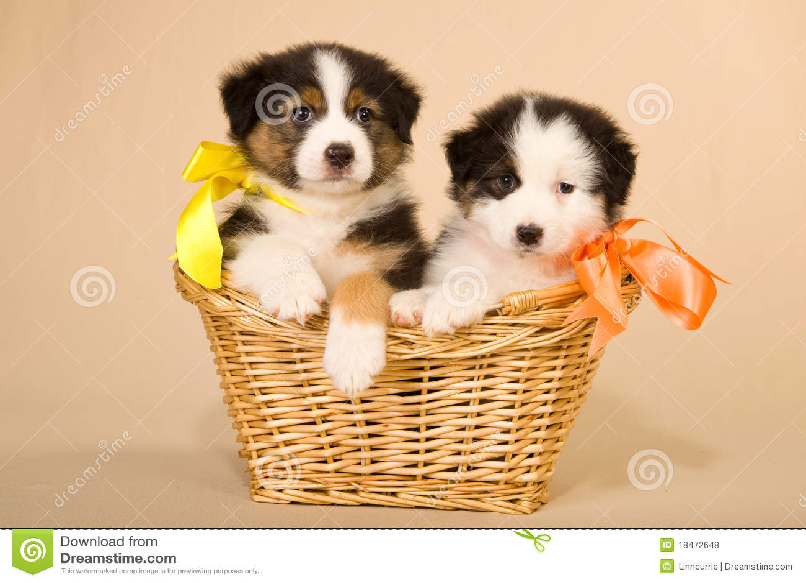 Australian Shepherd Puppies In Basket Royalty Free Stock ...