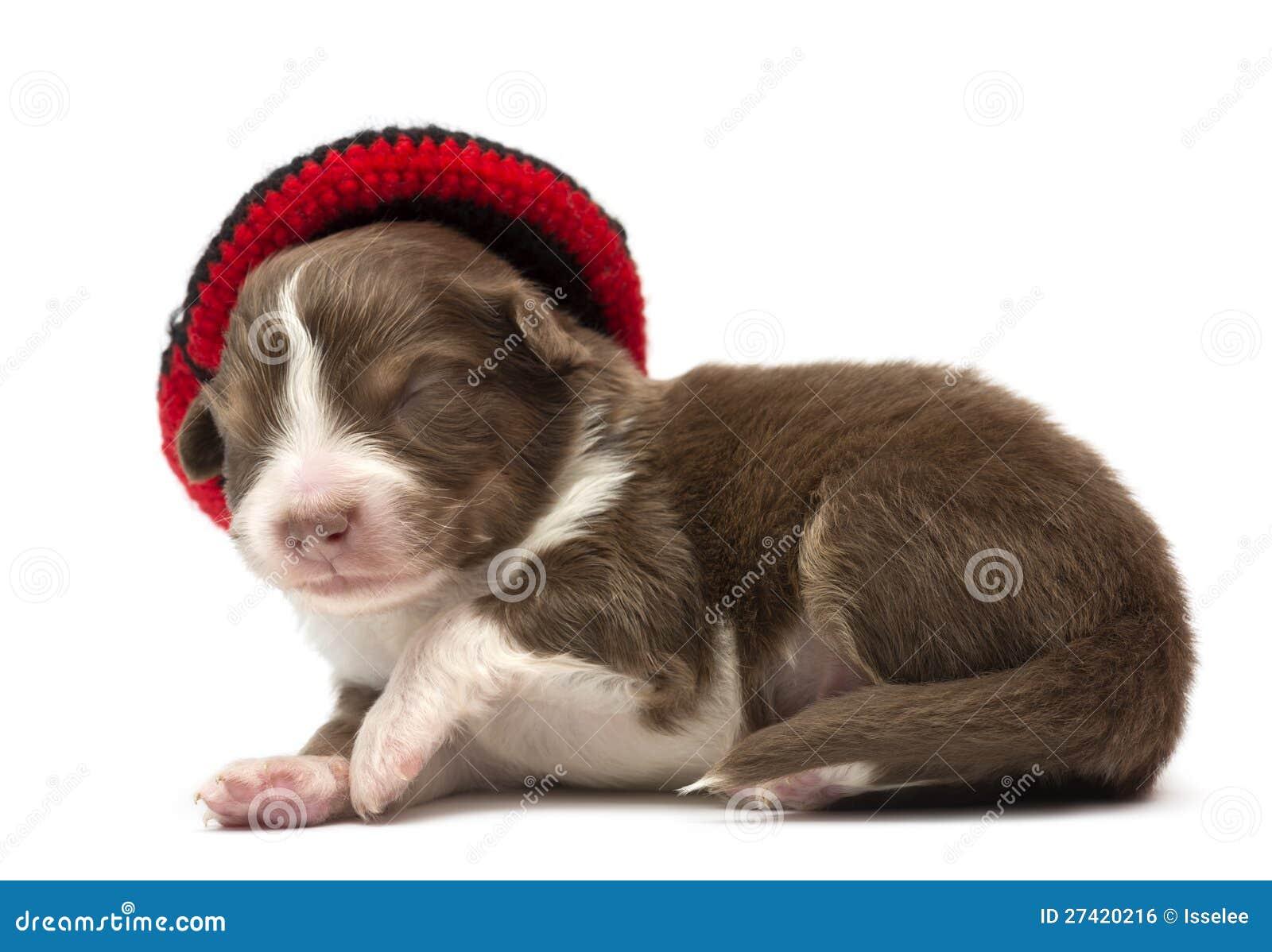 Australian Shepherd Puppy, 12 Days Old Royalty Free Stock Image ...