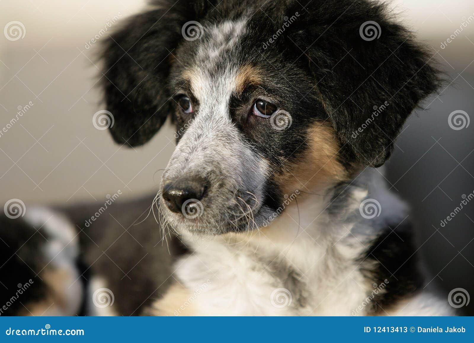 Australian Shepherd Puppy Stock Photos - Image: 12413413