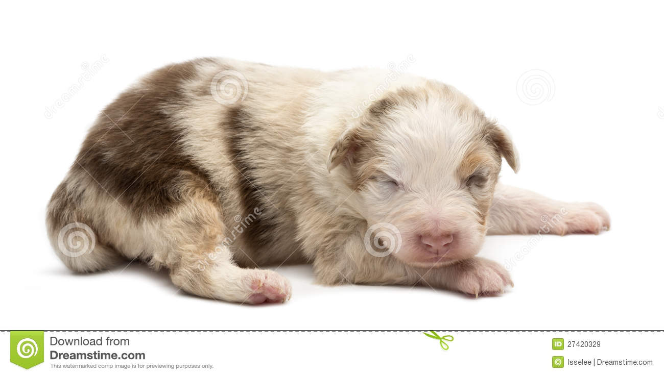 Royalty Free Stock Images: Australian Shepherd puppy, 14 days old ...