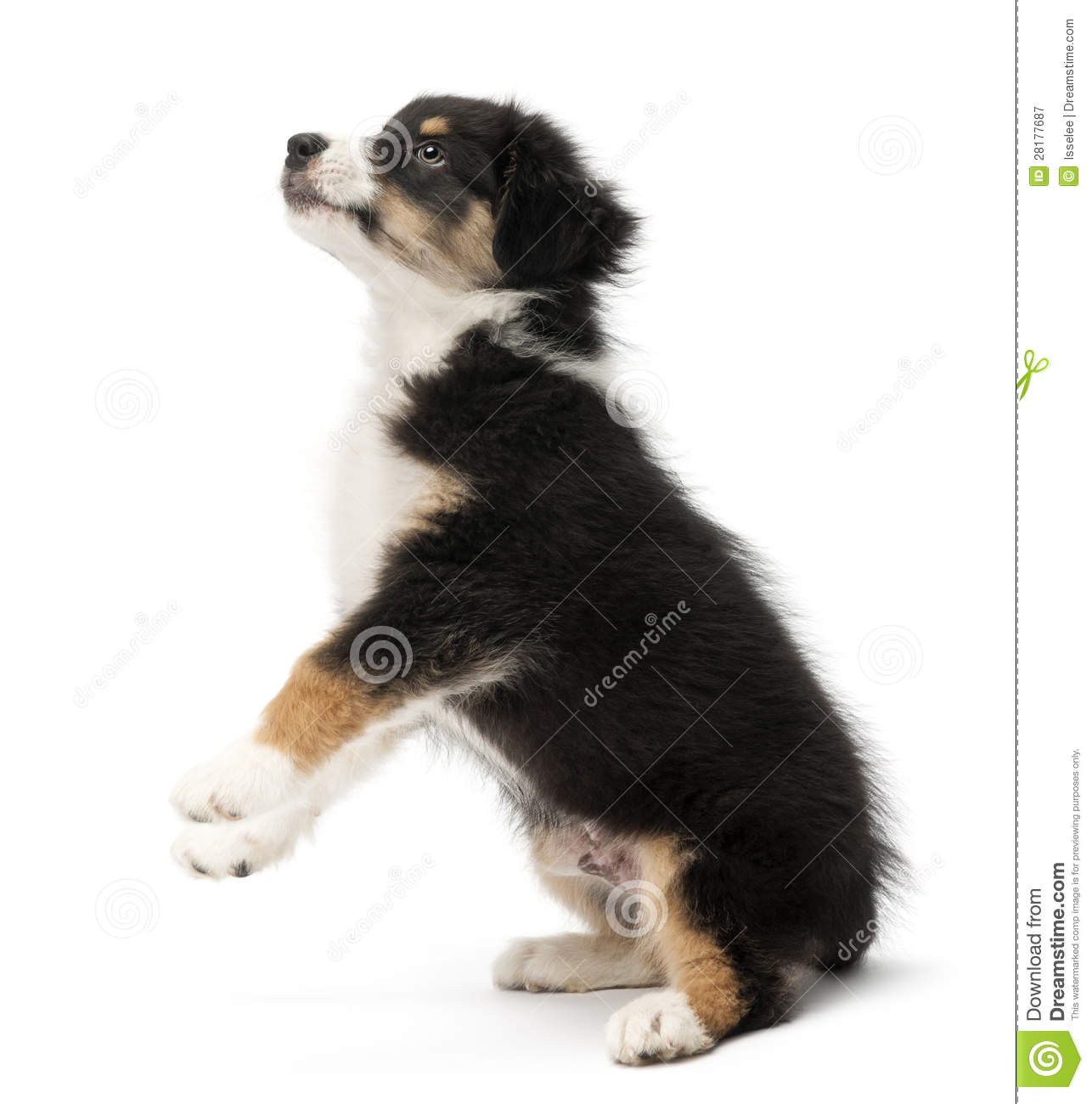 Australian Shepherd Puppy, 2 Months Old Royalty Free Stock Photography ...