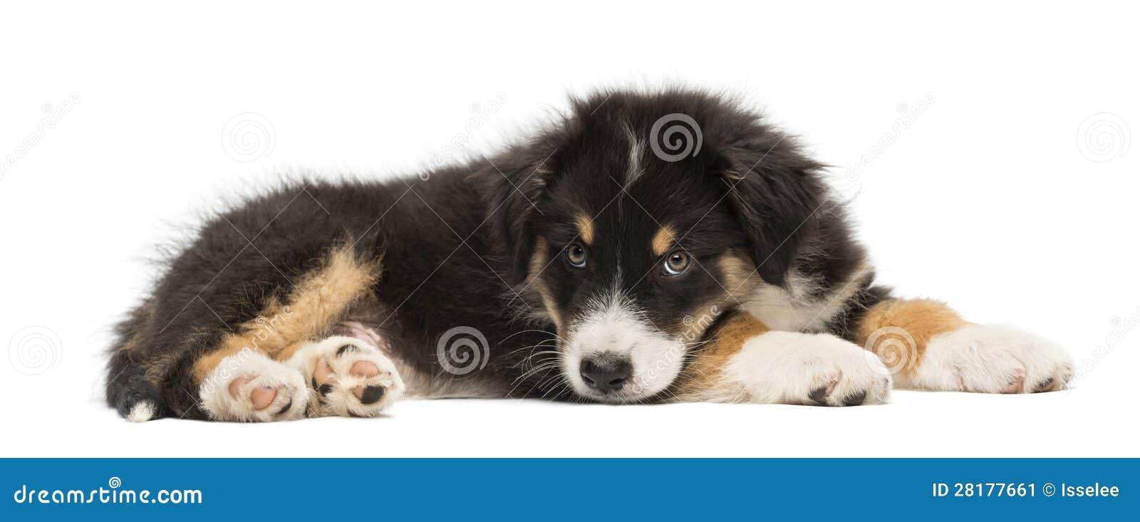 Australian Shepherd Puppy, 2 Months Old, Lying Stock Image - Image ...