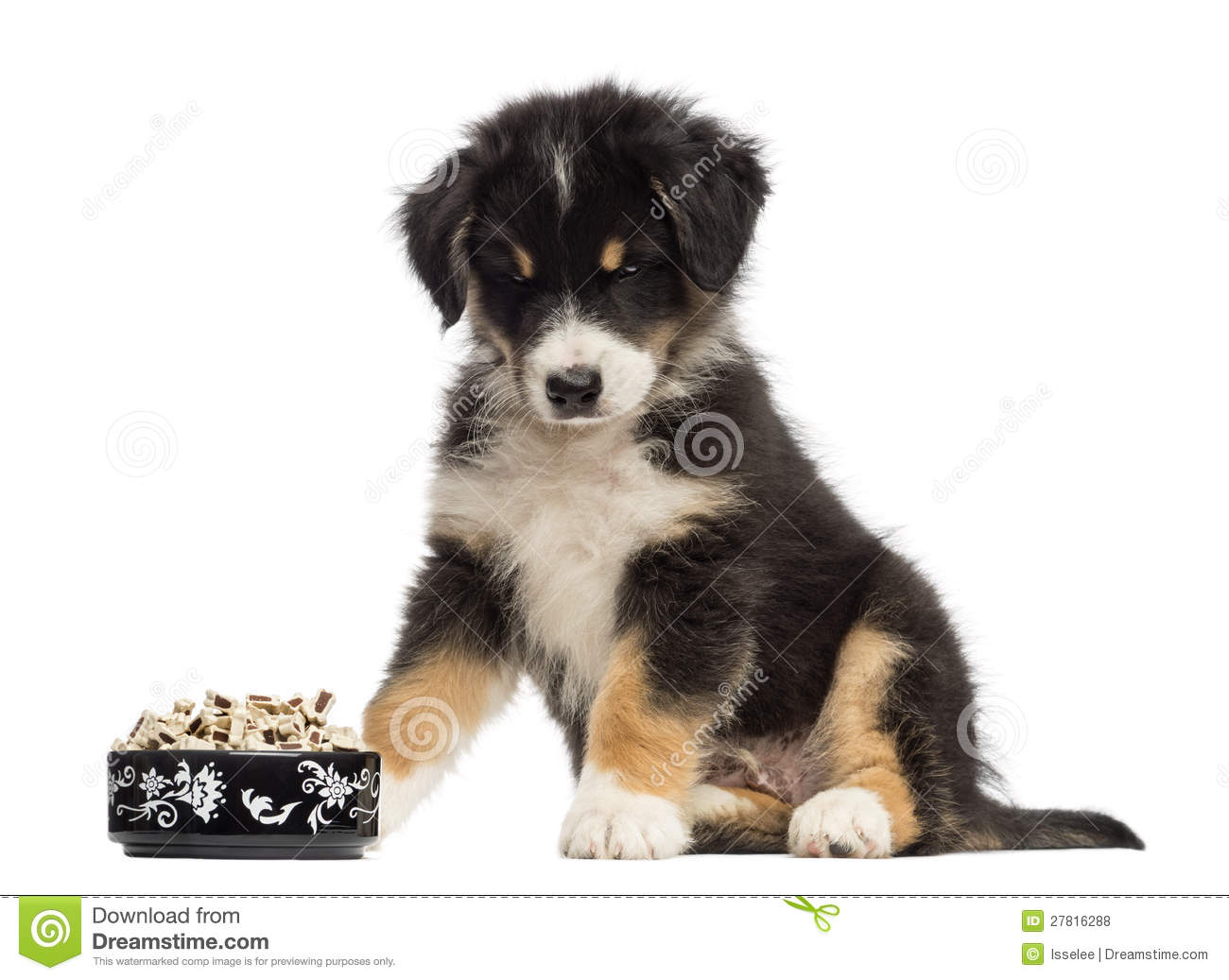 Australian Shepherd puppy, 2 months old, sitting and looking at bowl ...
