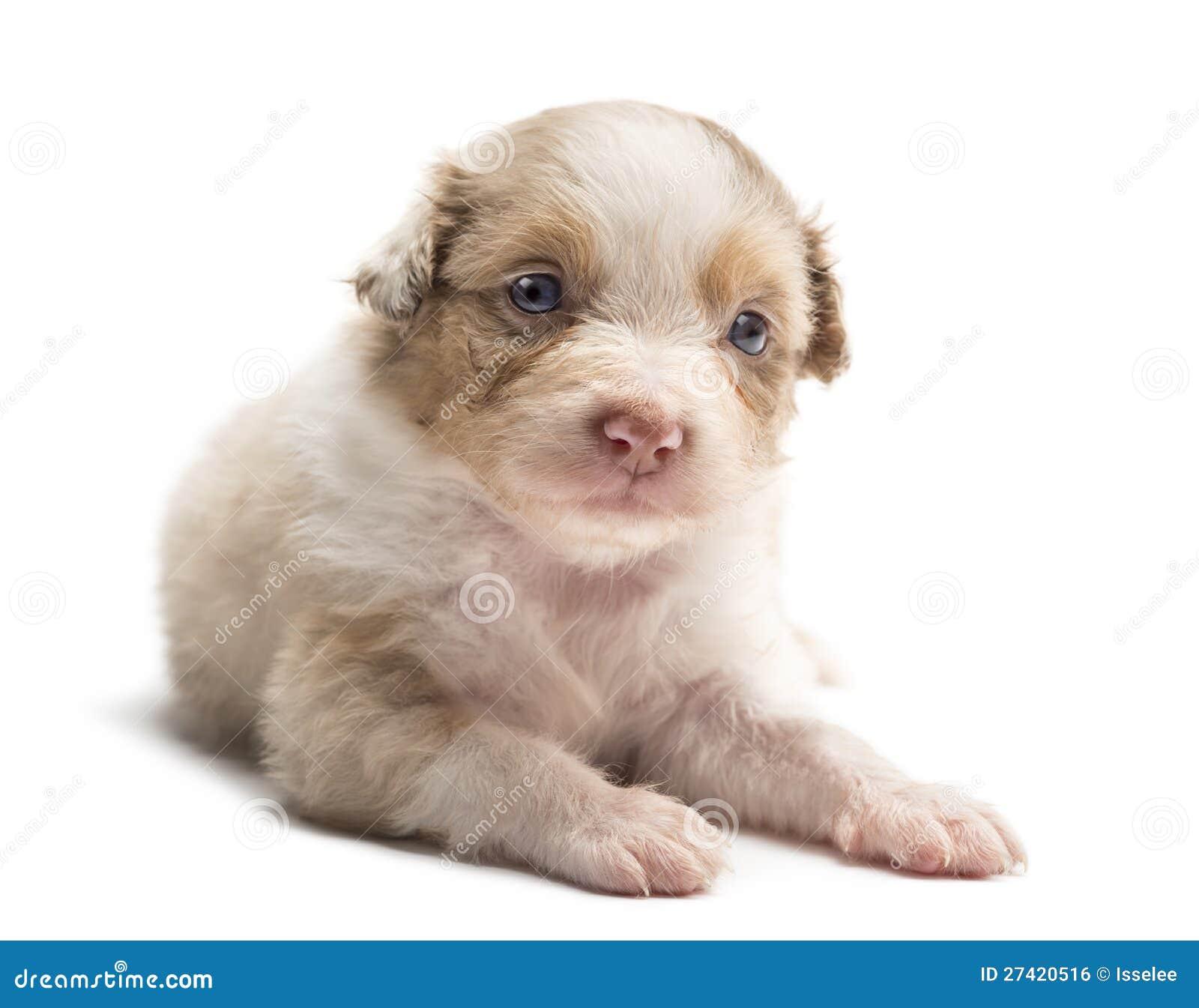 Royalty Free Stock Image: Australian Shepherd puppy, 24 days old