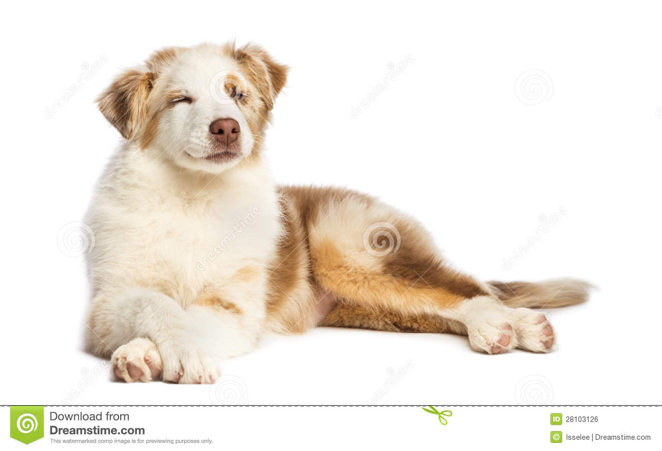 Belgian Shepherd Lying Royalty Free Stock Photography Image | Dog ...