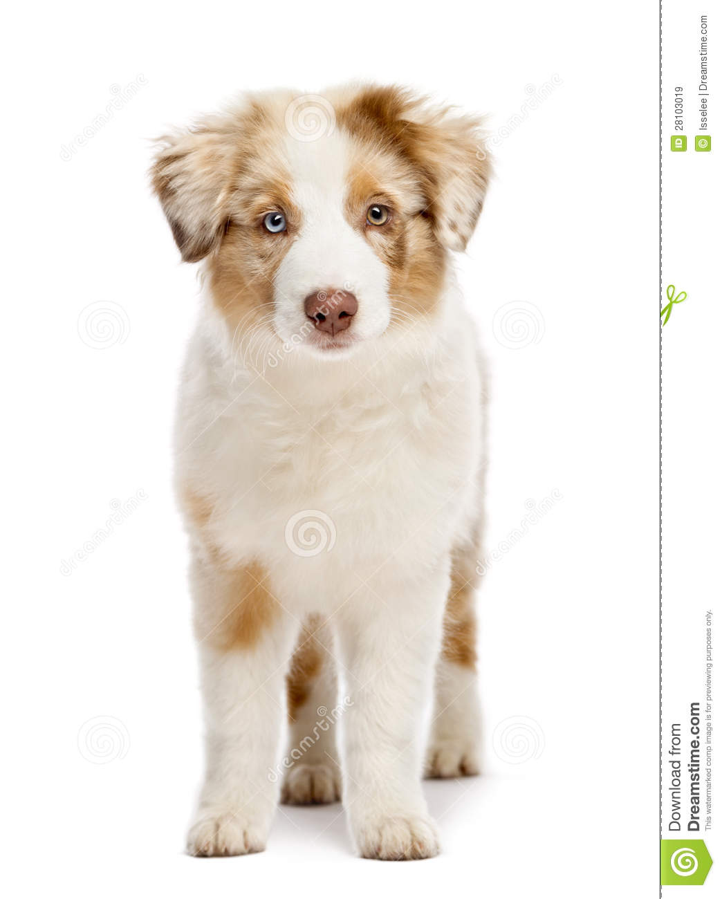 Australian Shepherd Puppy, 3 Months Old Royalty Free Stock Images ...