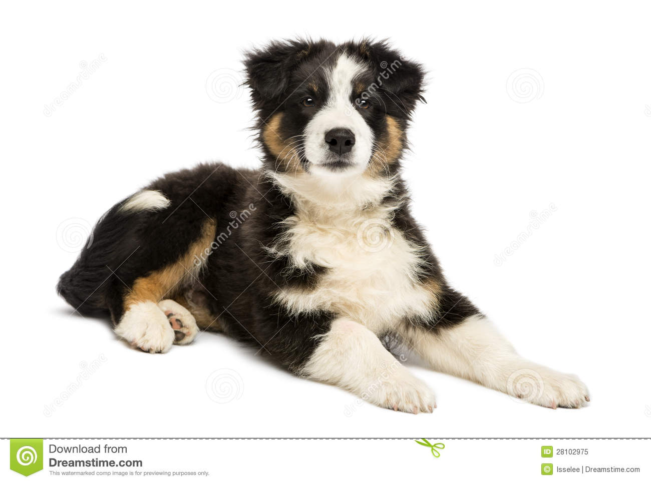 Australian Shepherd puppy, 3 months old, lying and looking at camera ...