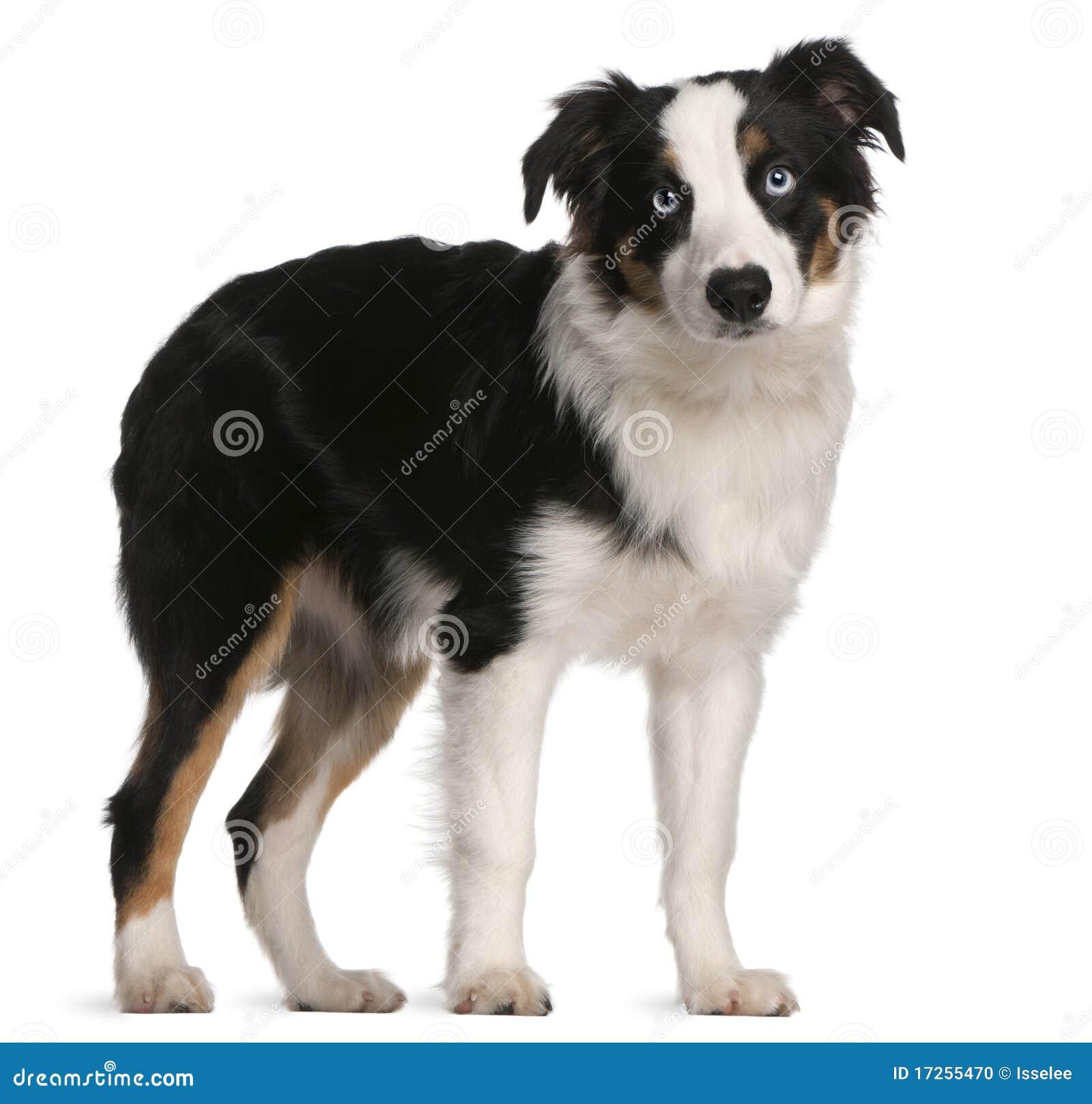 Australian Shepherd Puppy, 5 Months Old Stock Photo - Image: 17255470