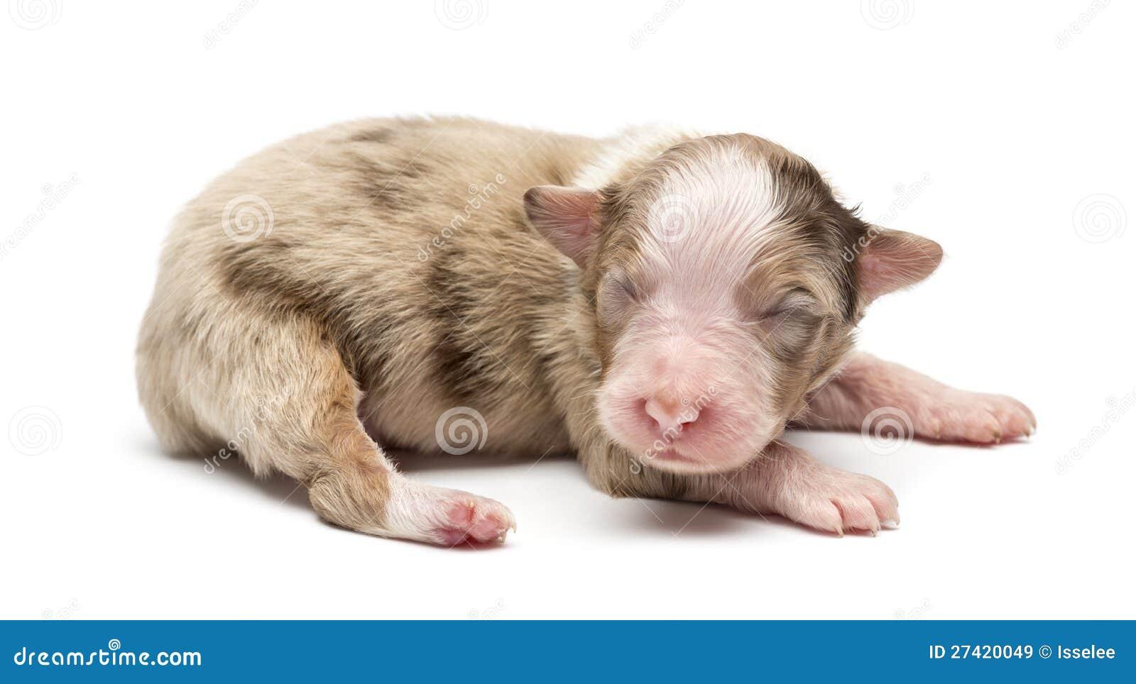 Australian Shepherd Puppy, 7 Days Old, Lying Royalty Free Stock Images ...